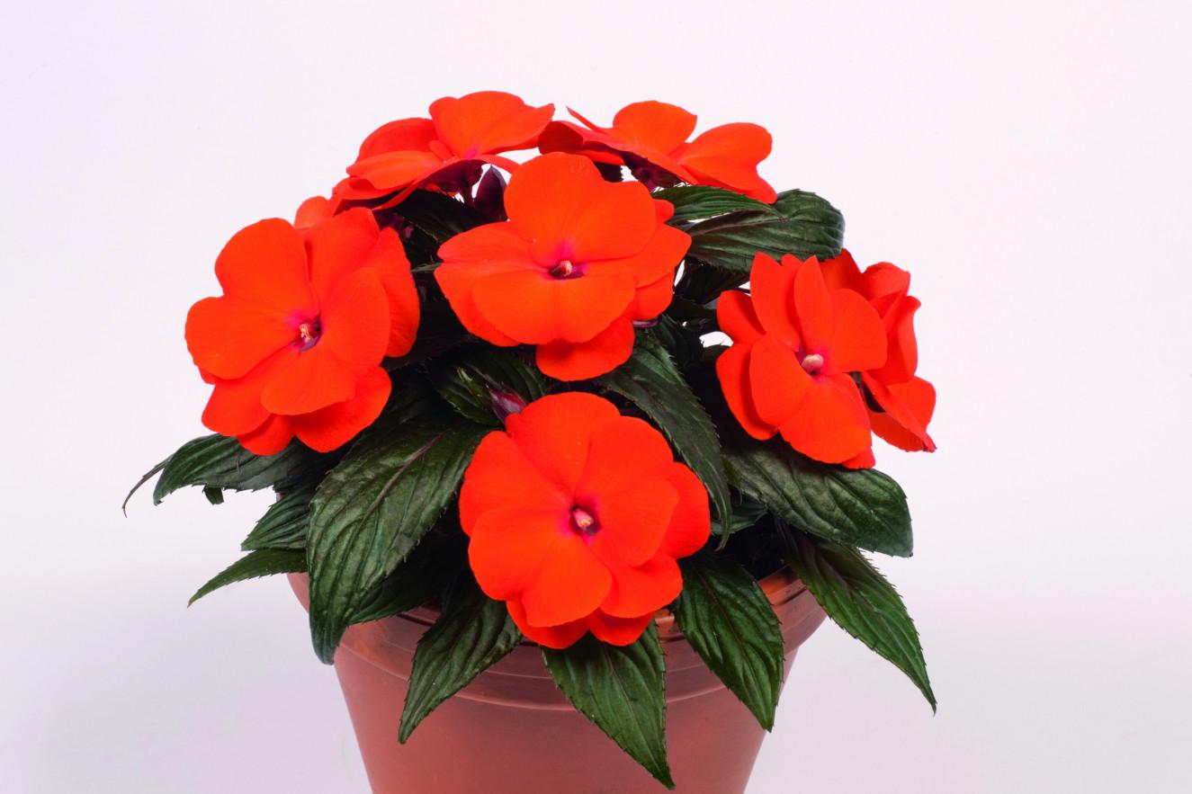 Бальзамин новогвинейский уход, фото Любимые цветы 33
