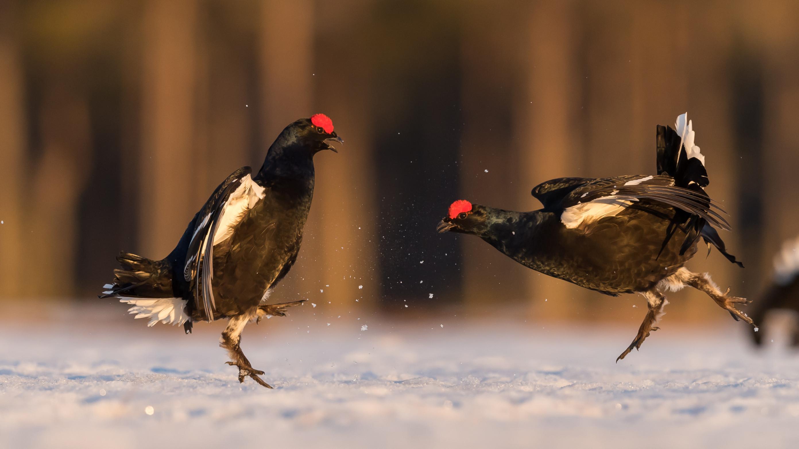 vogels veen korhoen 8592