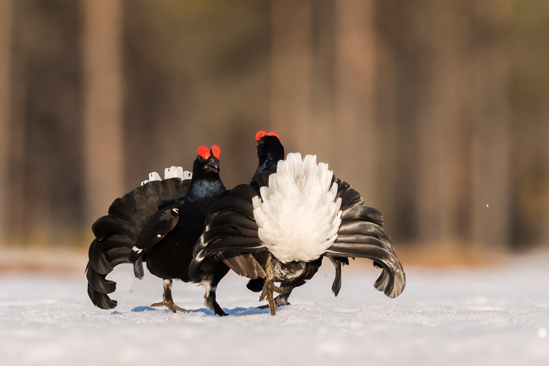 vogels veen korhoen 8659