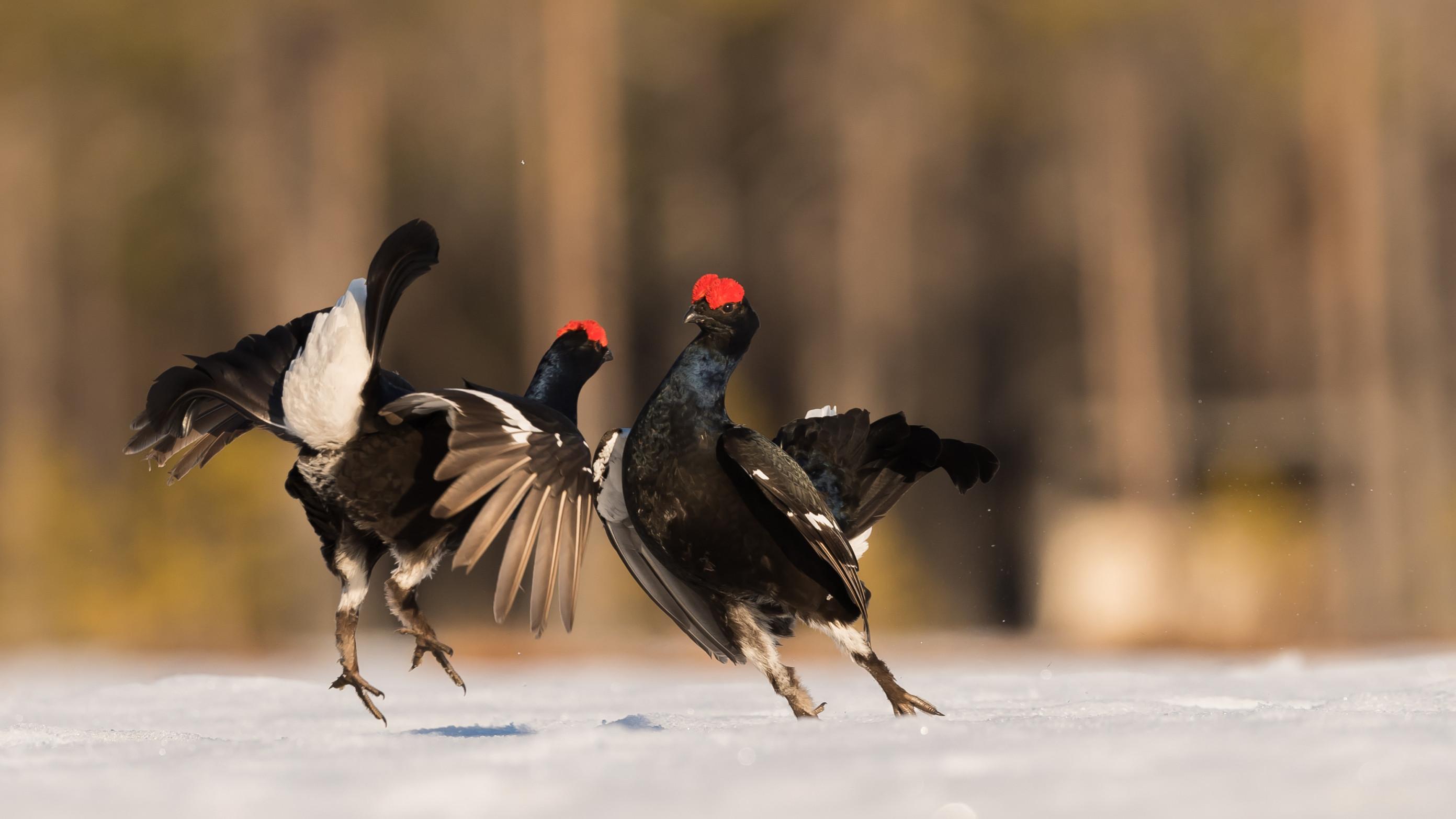 vogels veen korhoen 8753