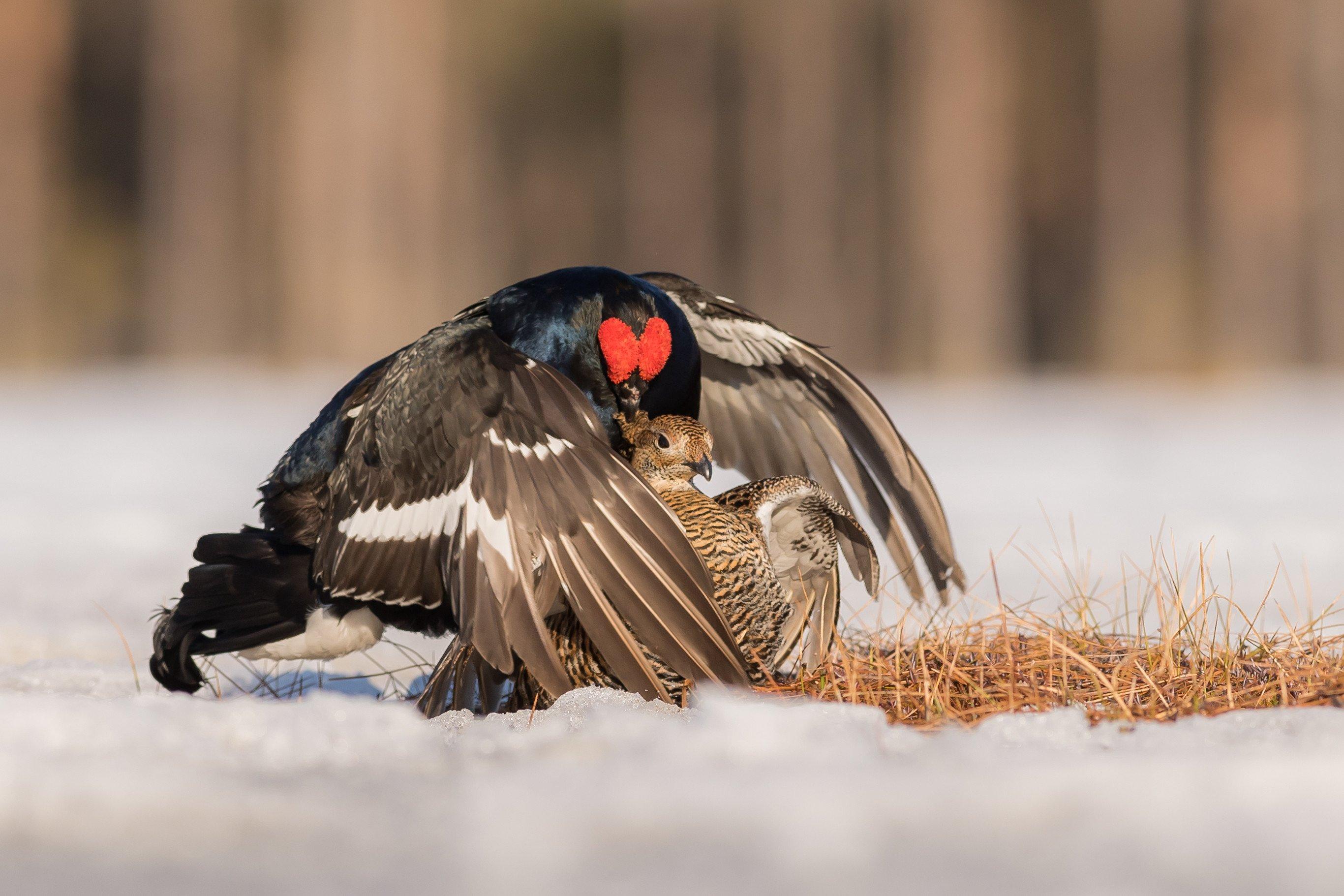 vogels veen korhoen 8885