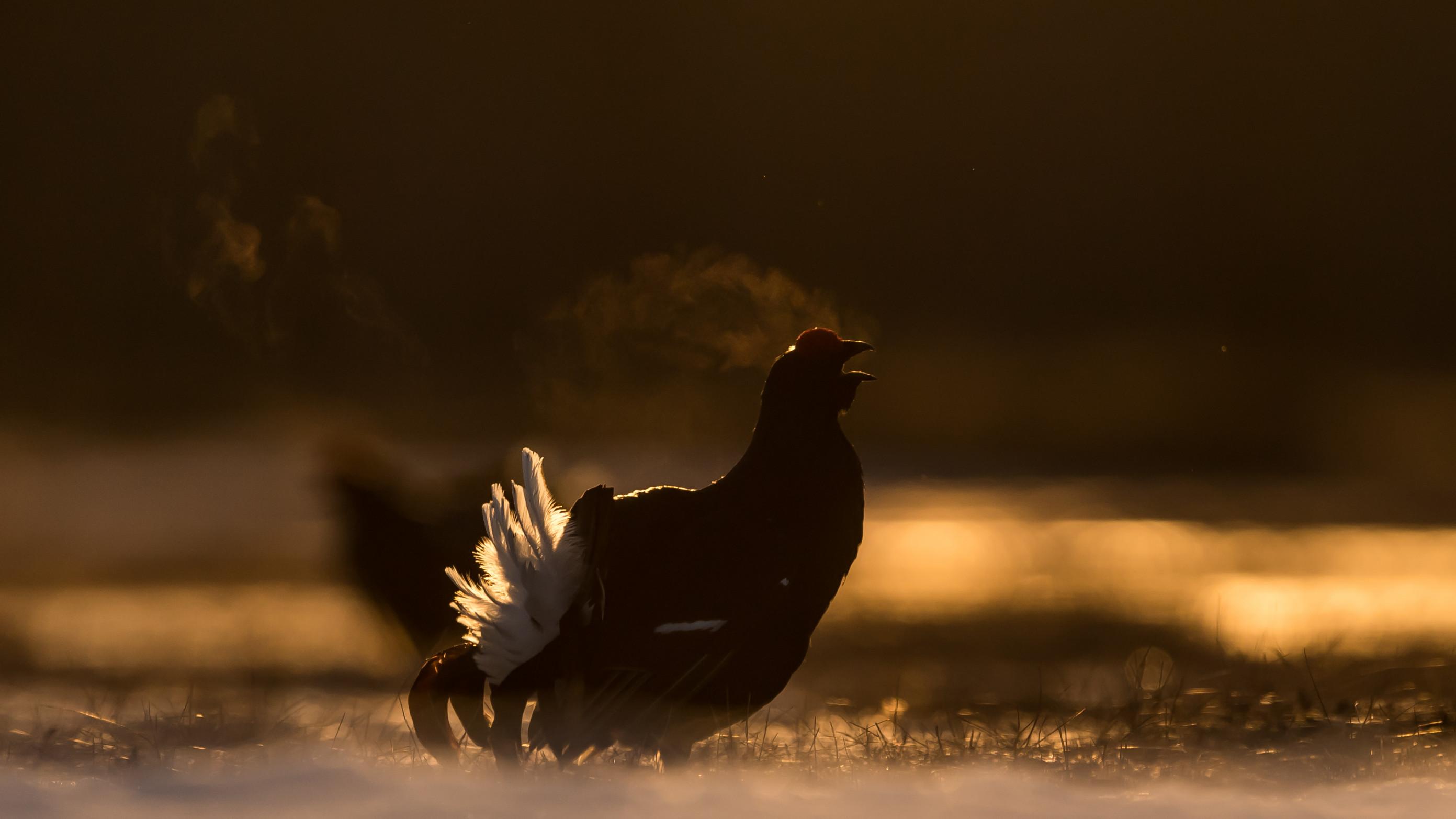 vogels veen korhoen 0090