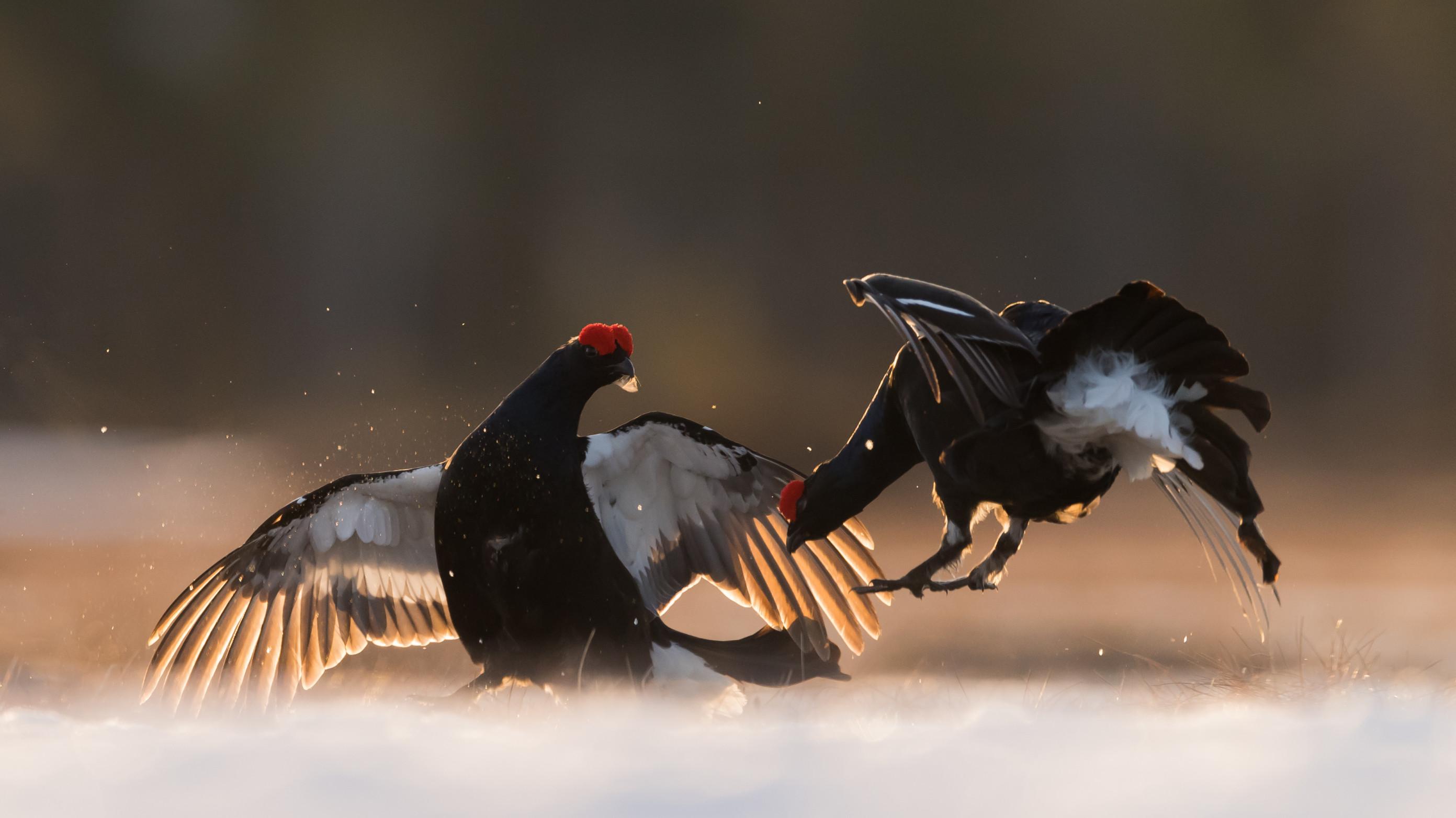 vogels veen korhoen 0302