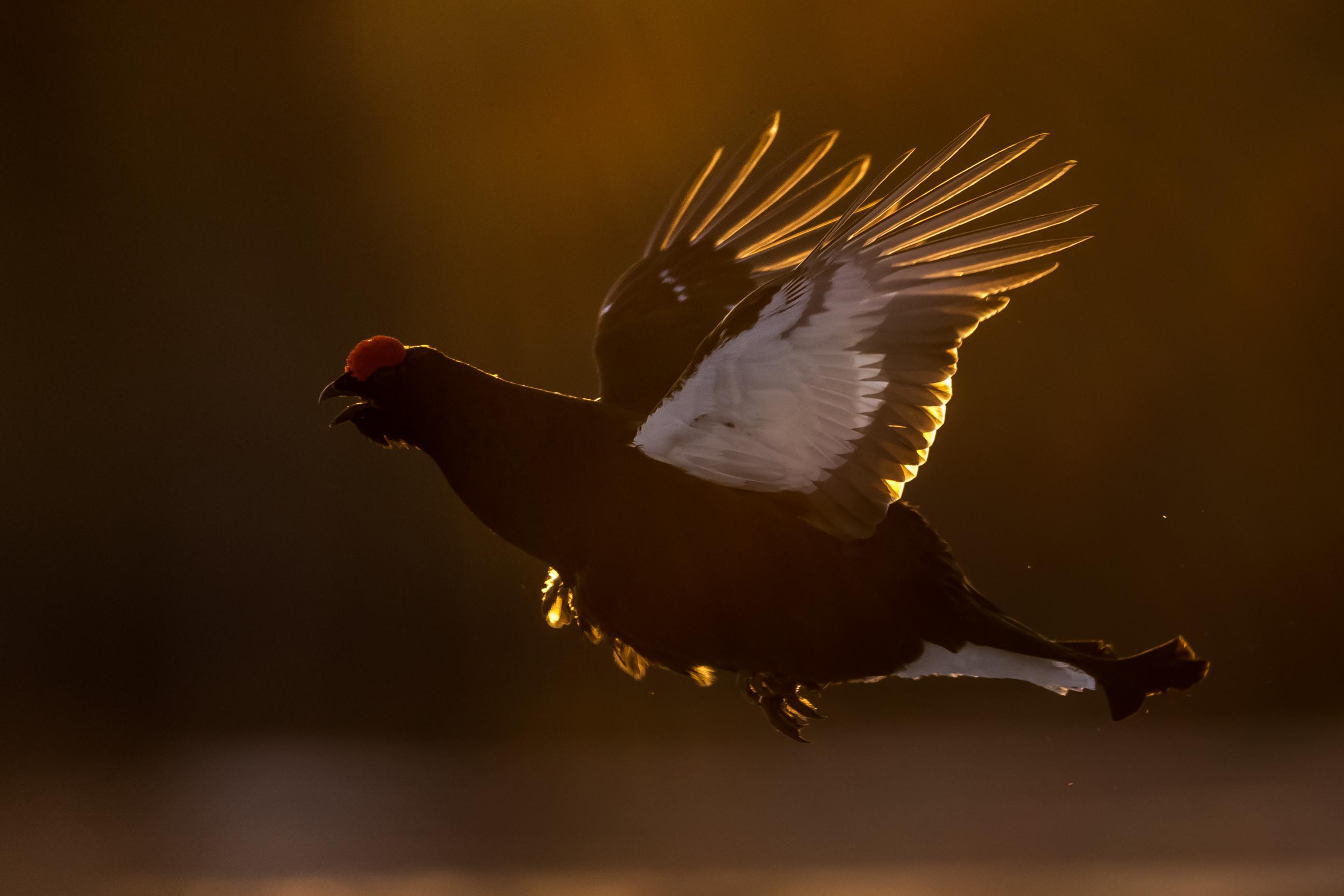 vogels veen korhoen 9678