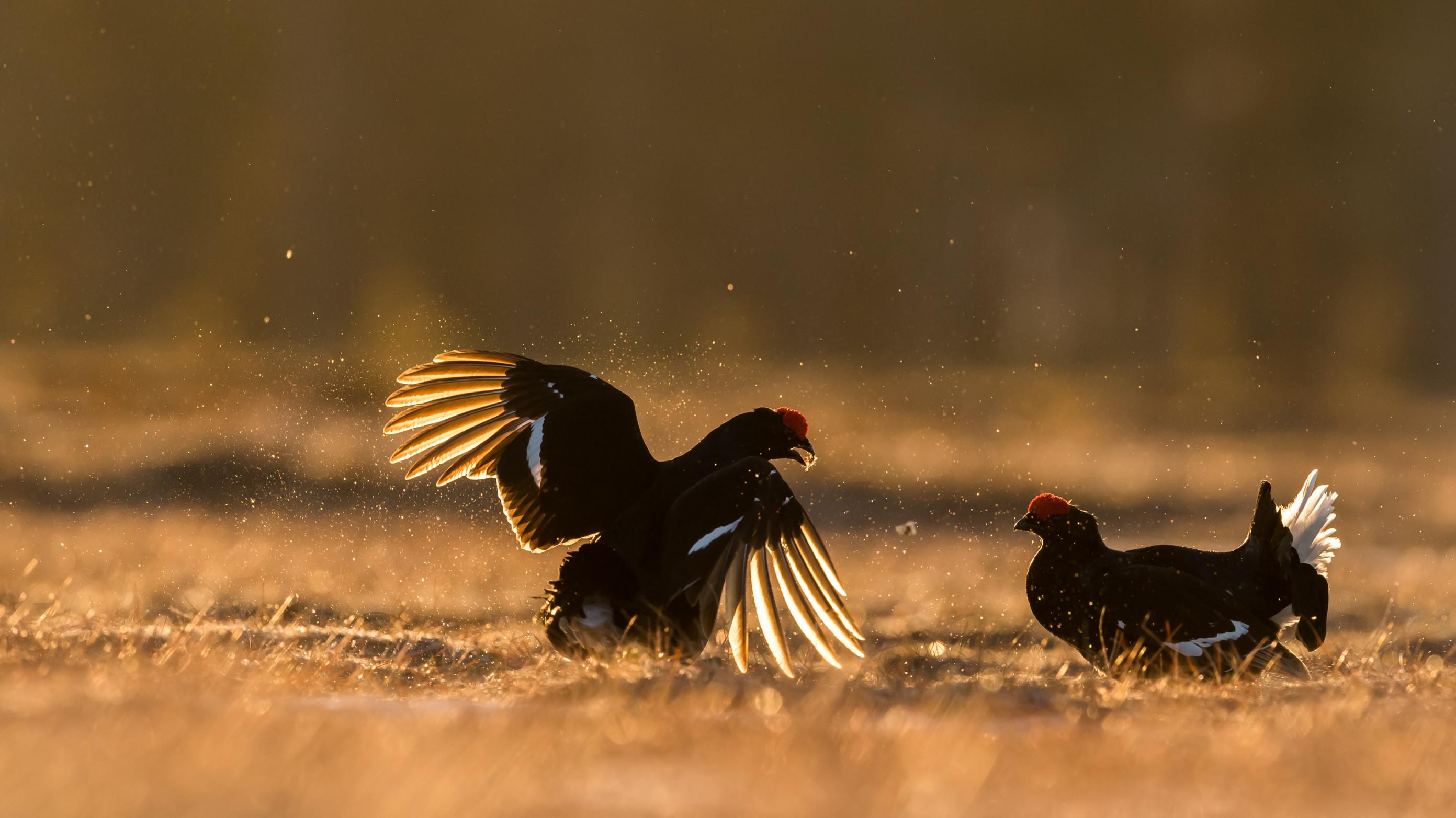 vogels veen korhoen 1404