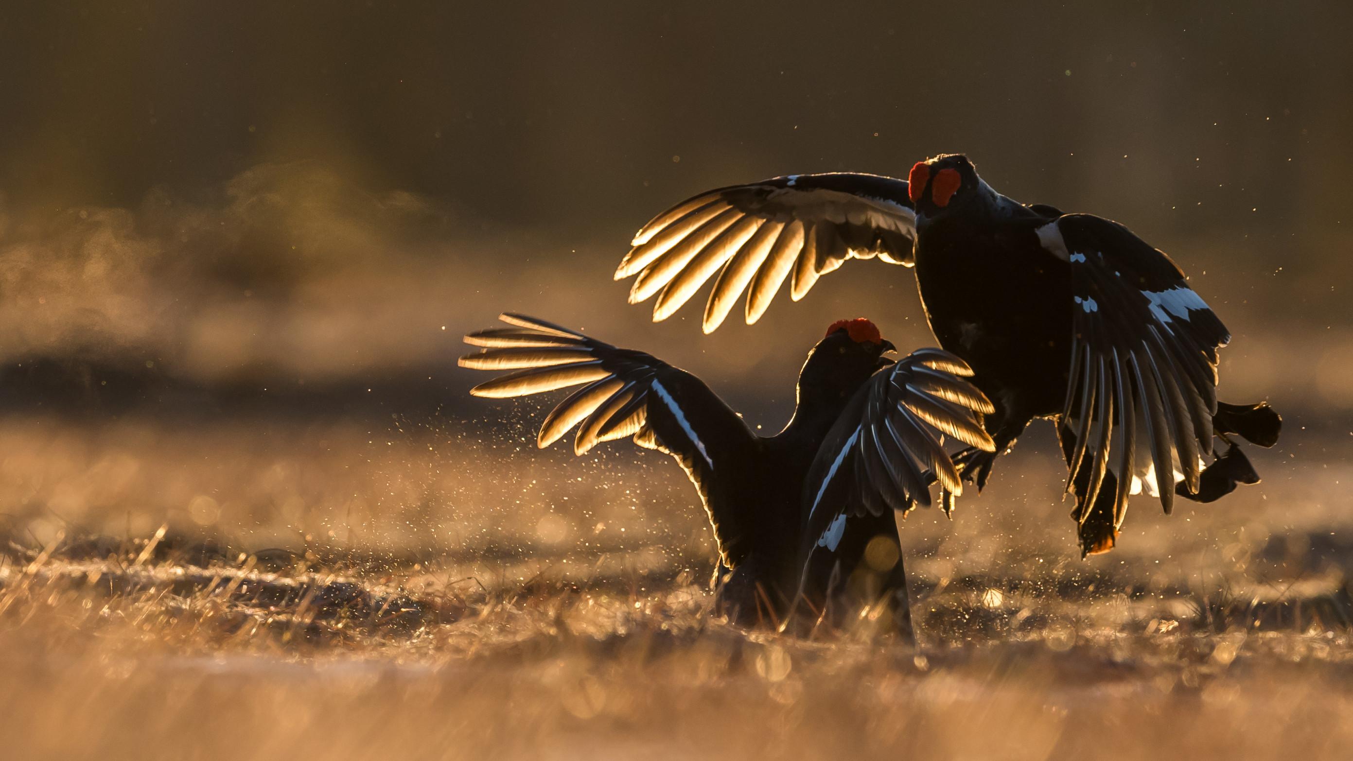 vogels veen korhoen 1420