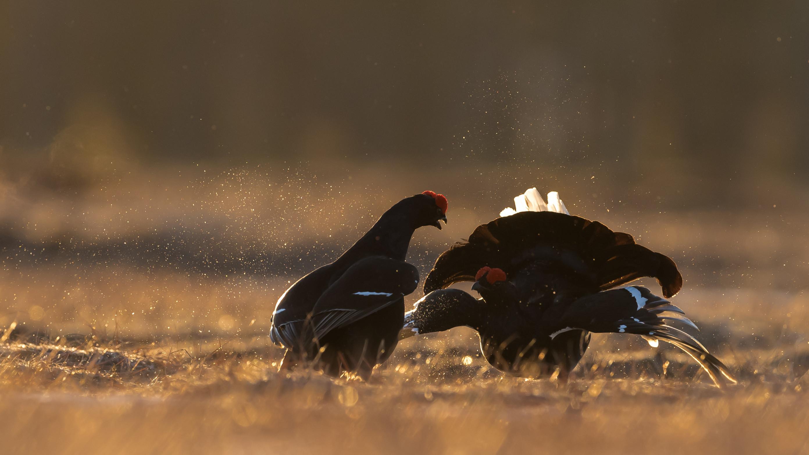 vogels veen korhoen 1422