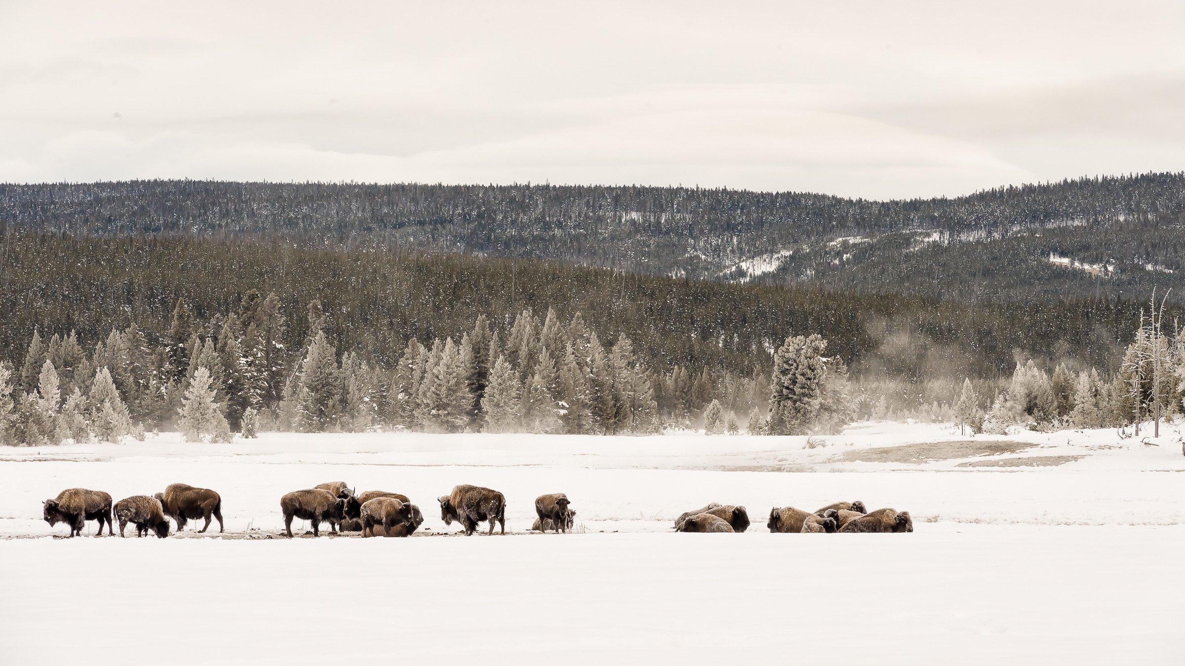 Yellowstone 1390