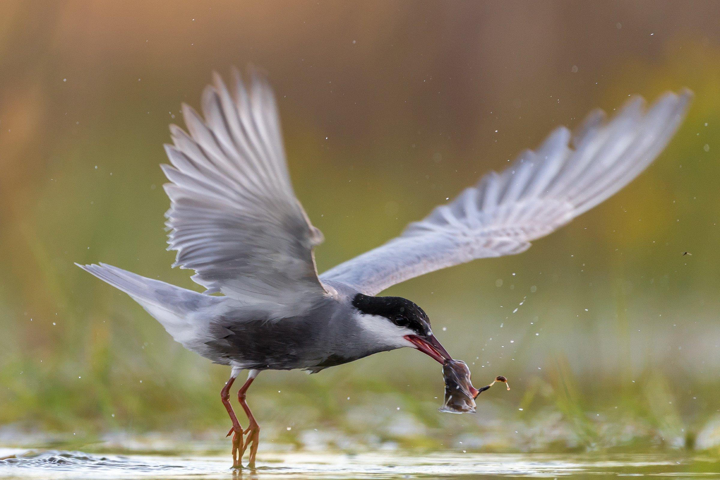 vogels BHW 3640