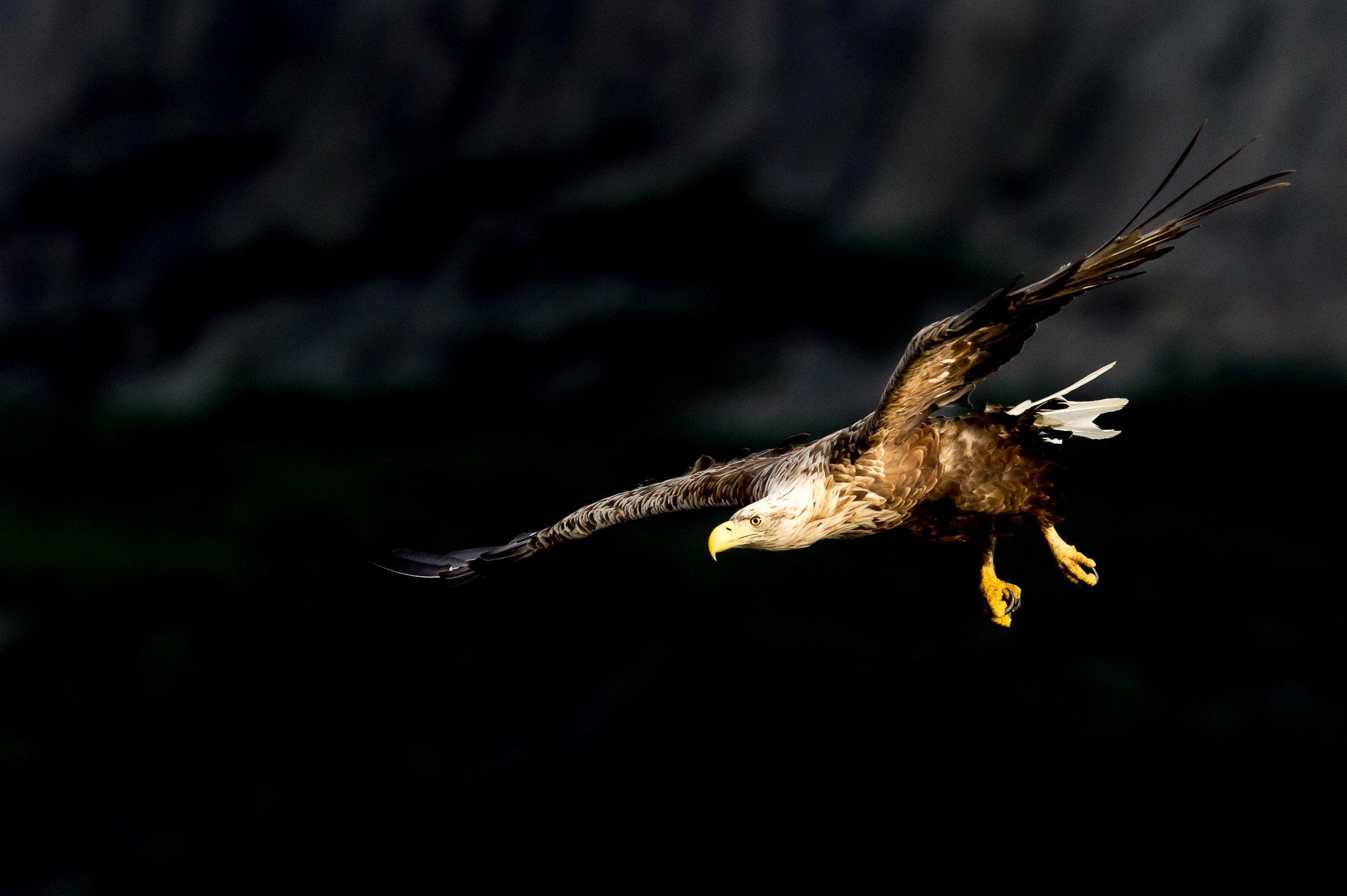roofvogel zeearend 6639