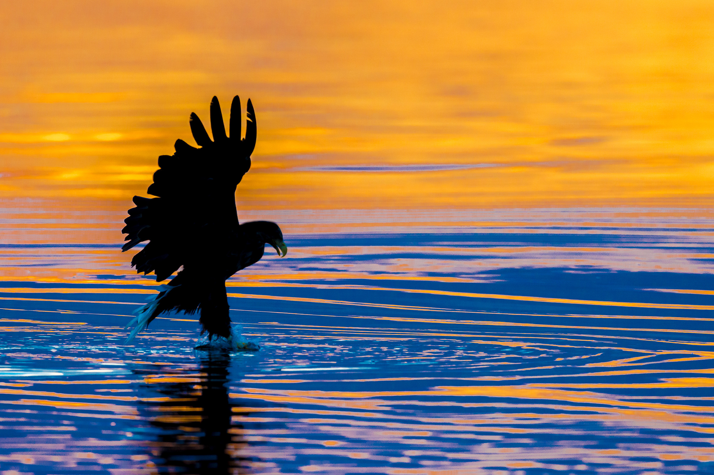 roofvogel zeearend 7210
