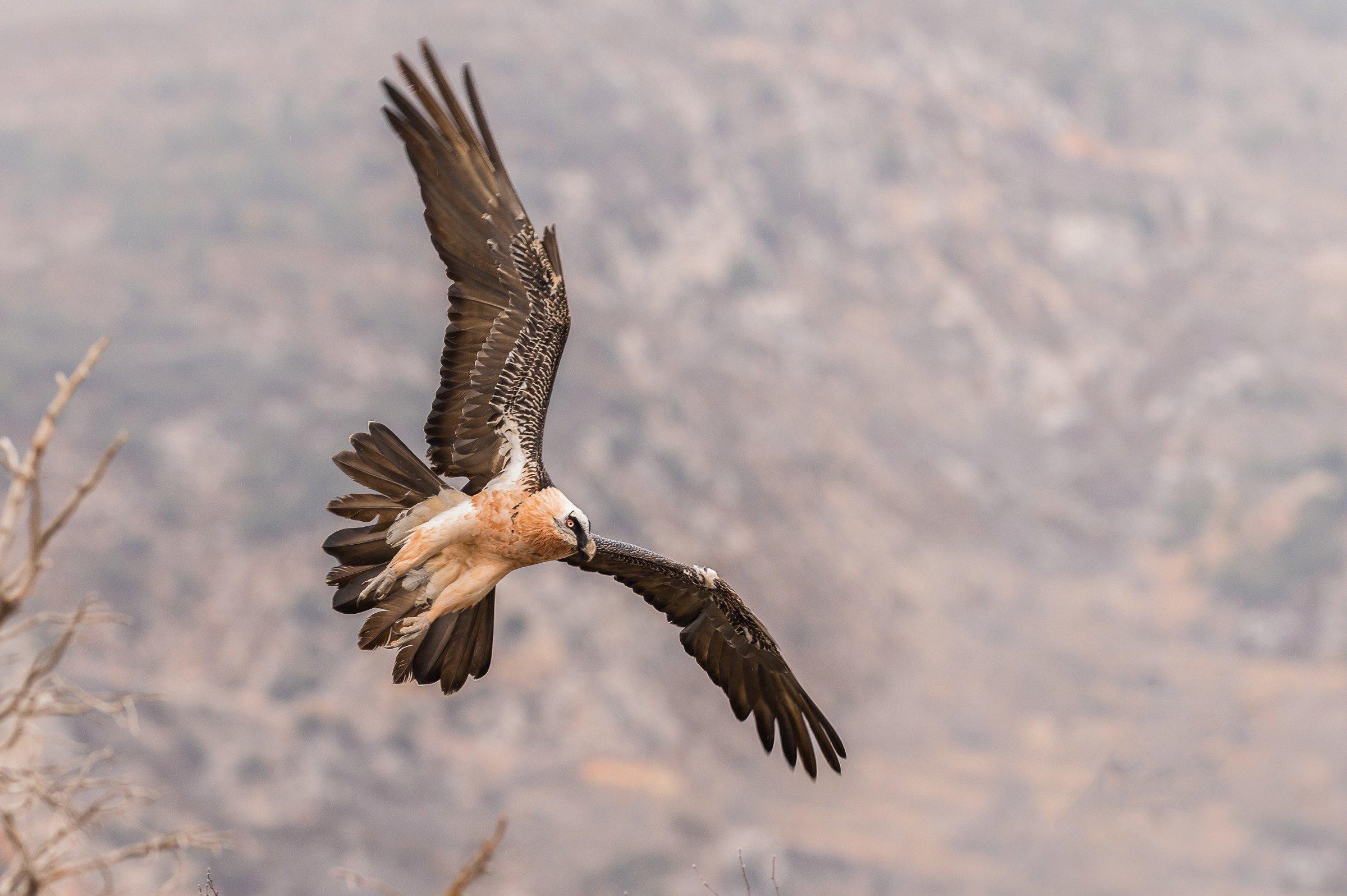 roofvogel gieren 3180
