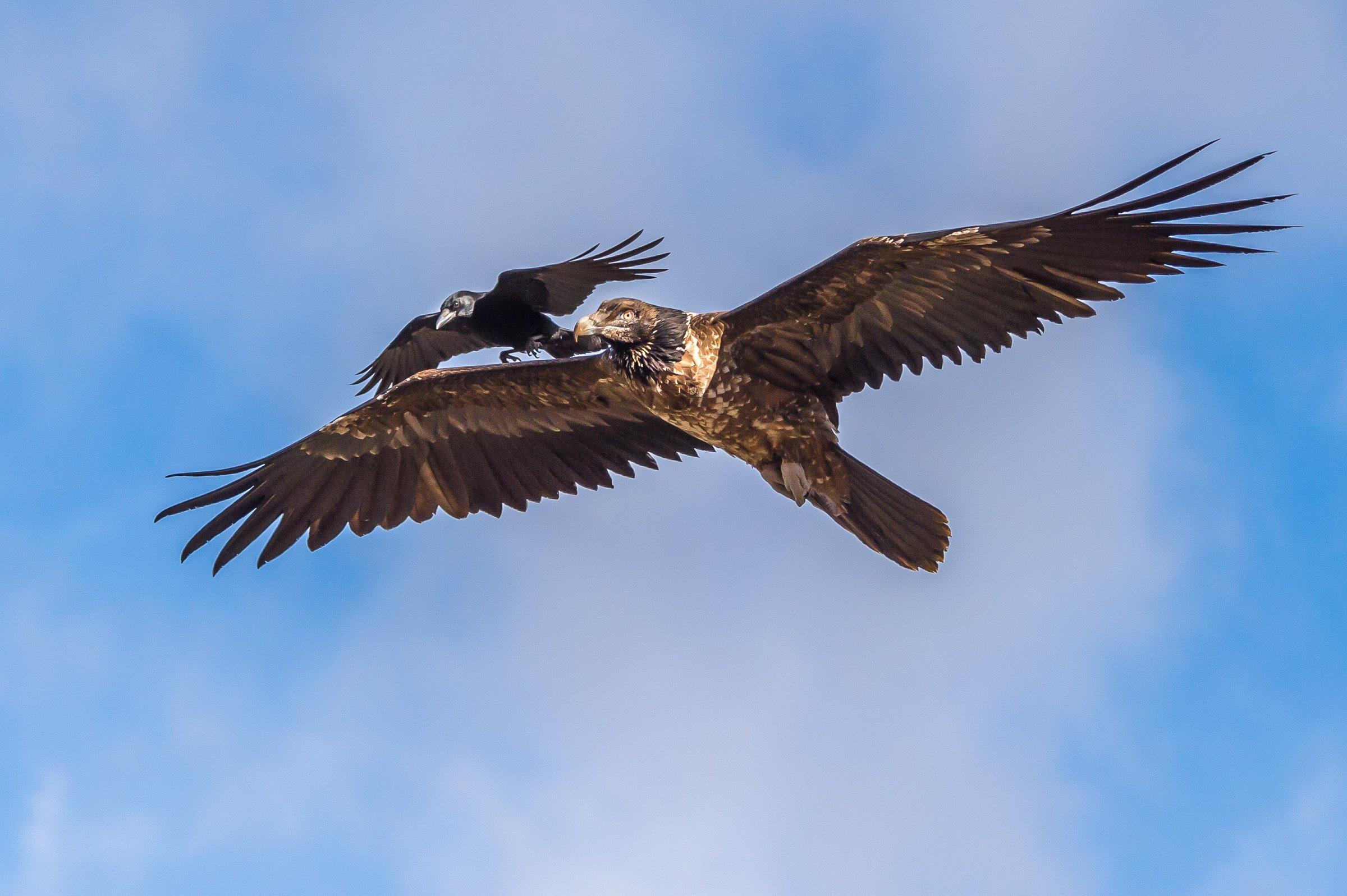 roofvogel gieren 3992