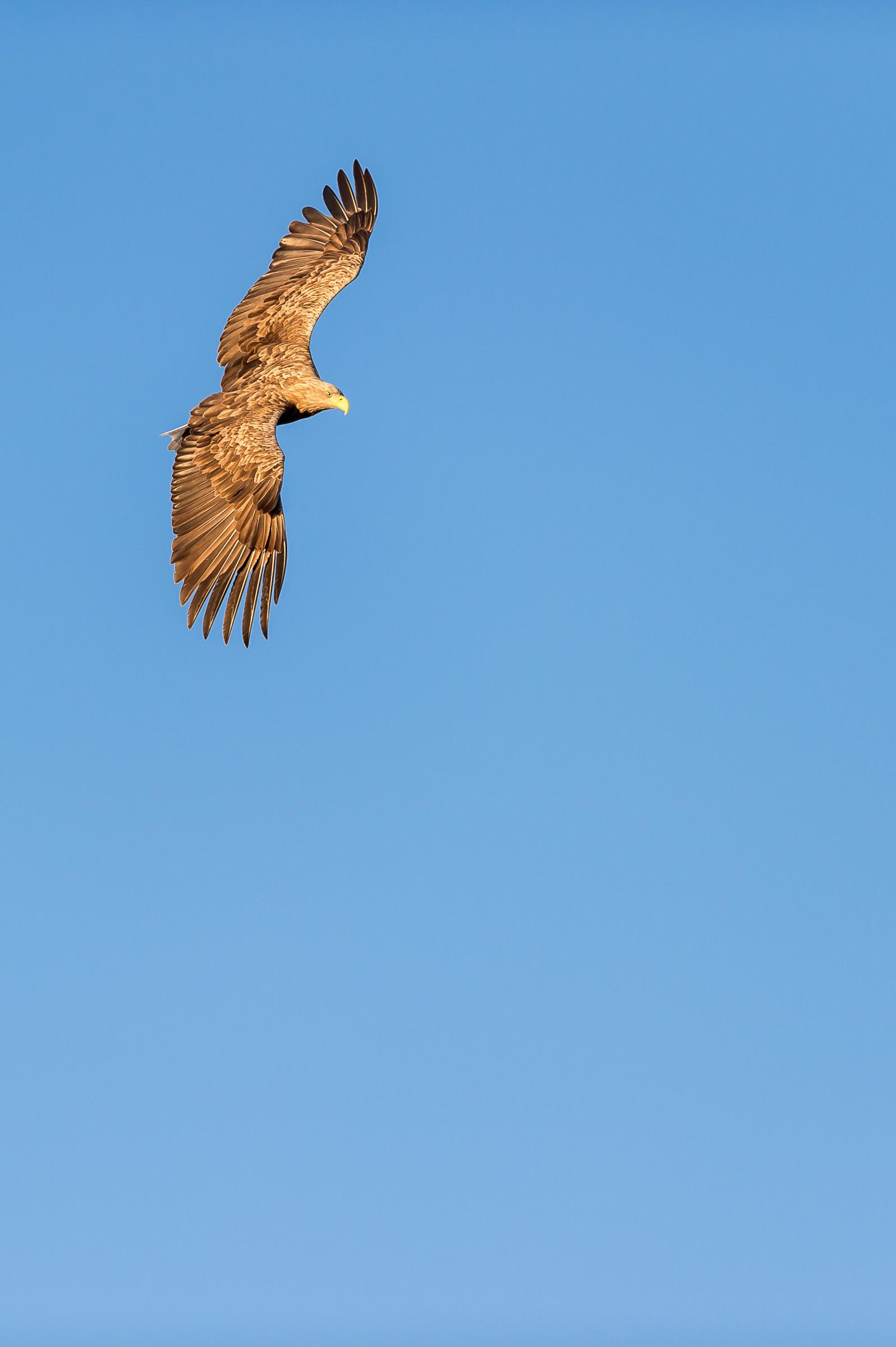 roofvogel zeearend 8886