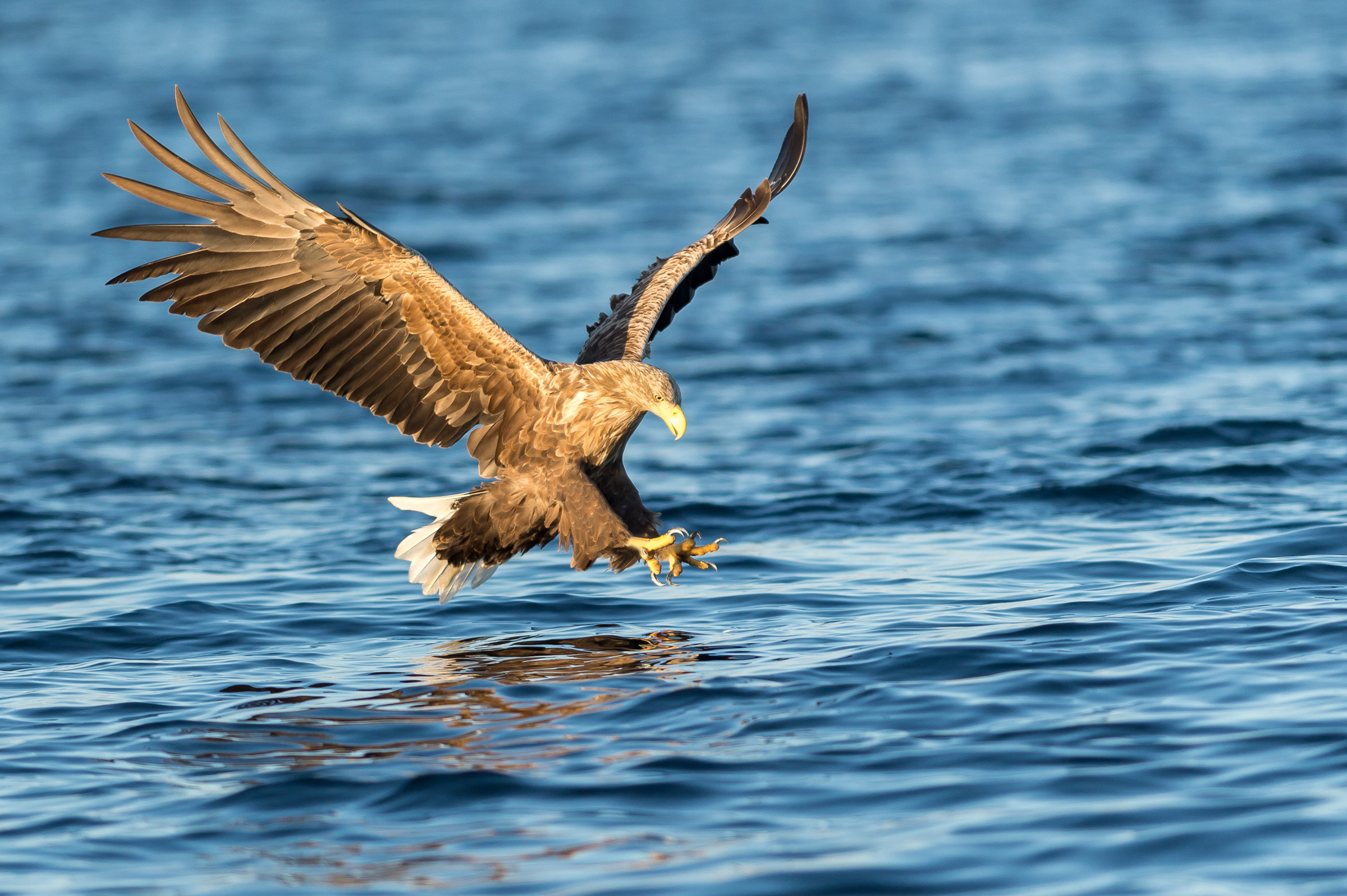 roofvogel zeearend 8915