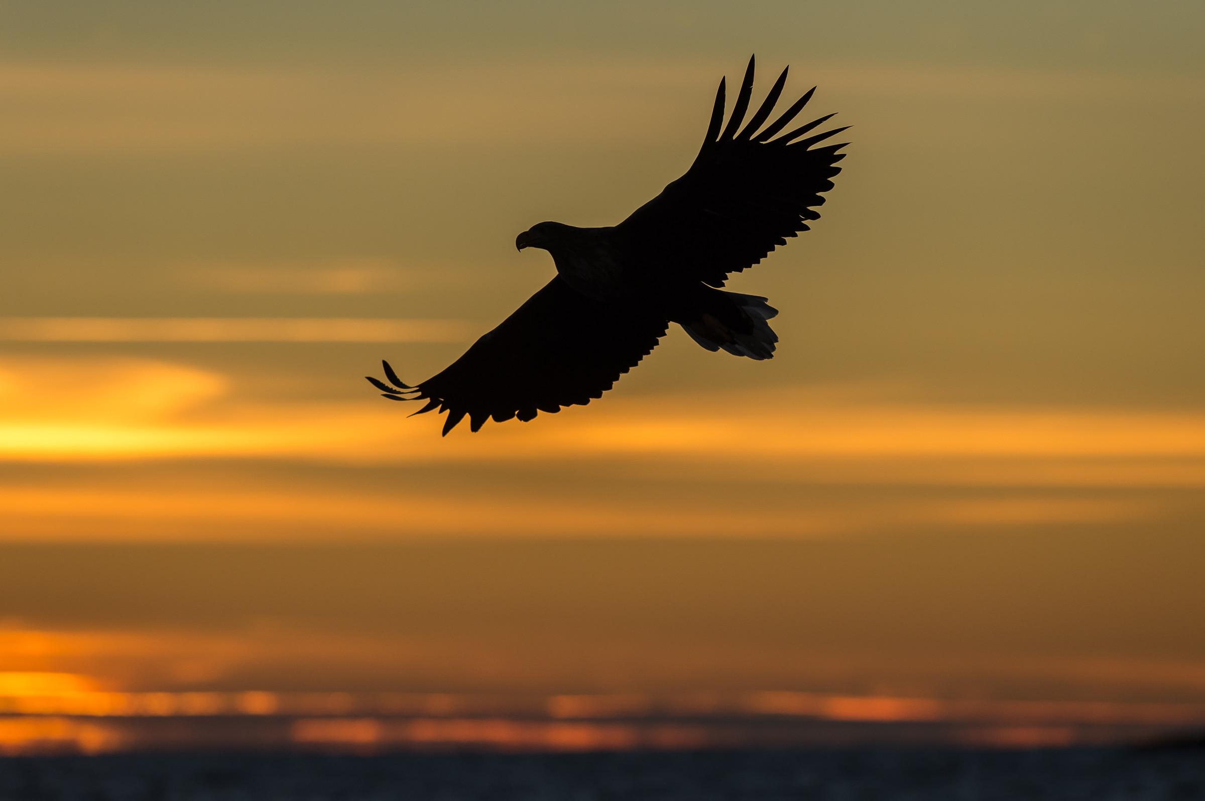 roofvogel zeearend 7089