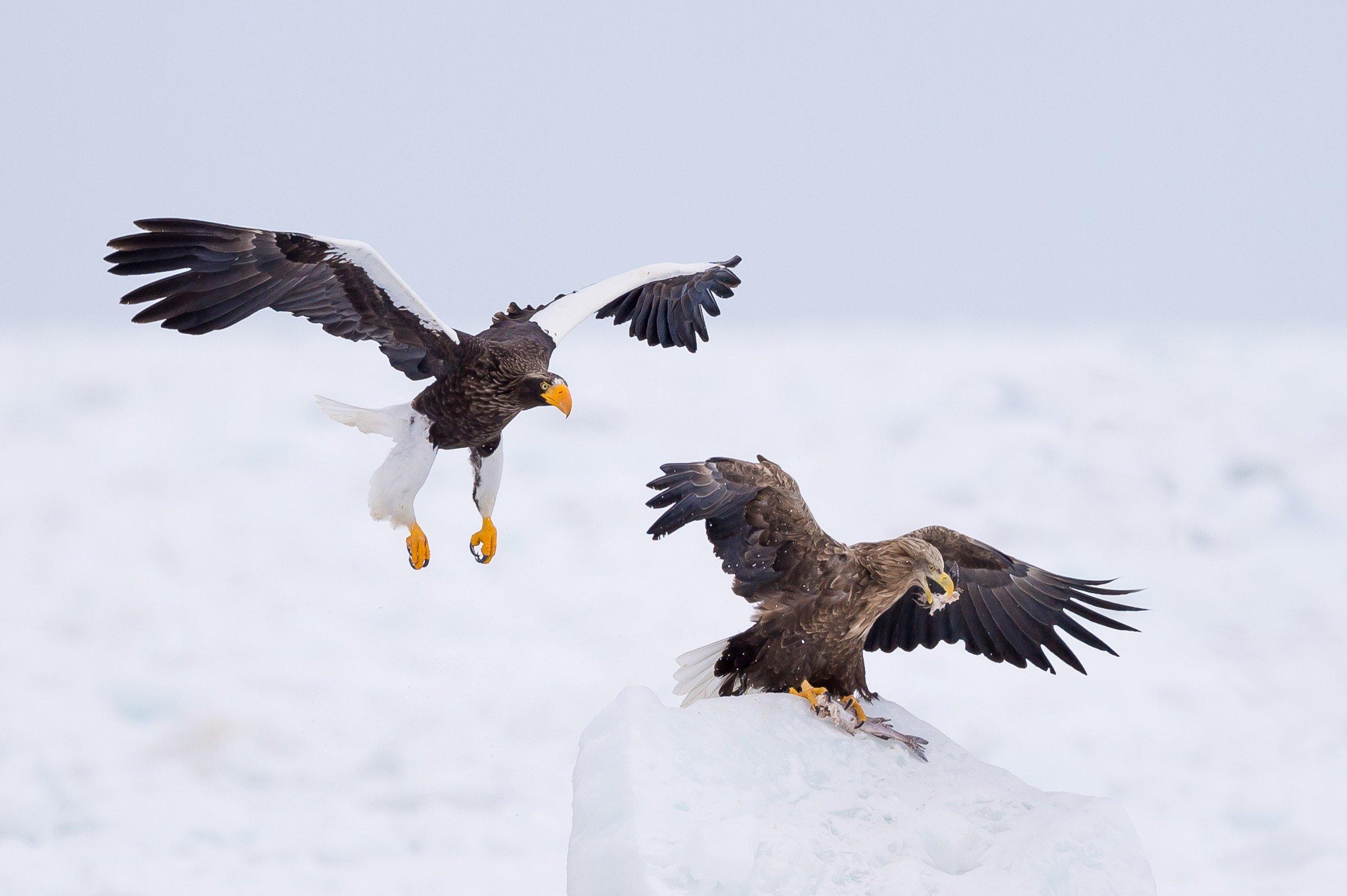 roofvogel arend 1727