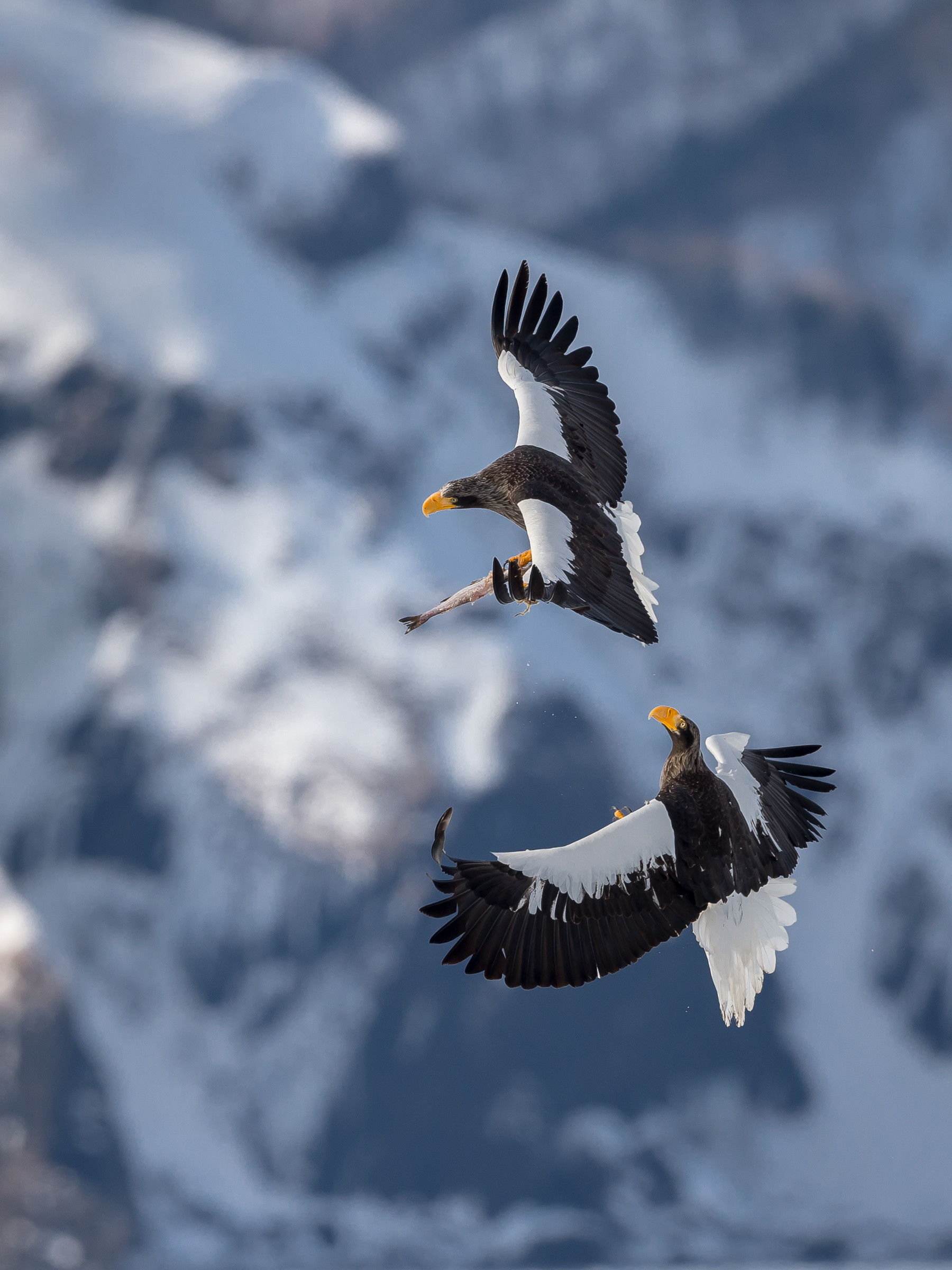 roofvogel stellers zeearend 3439