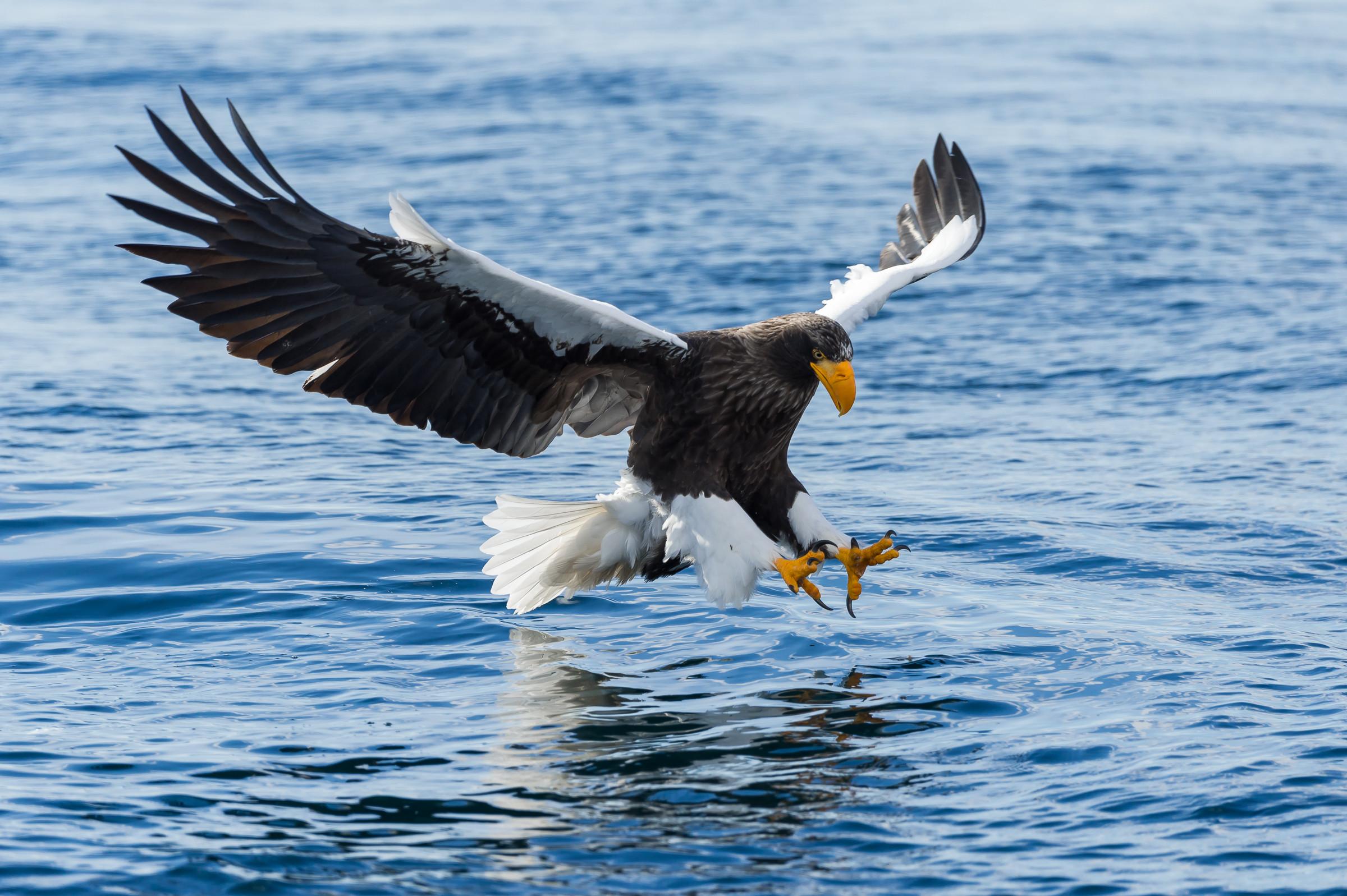 roofvogel stellers zeearend 2649