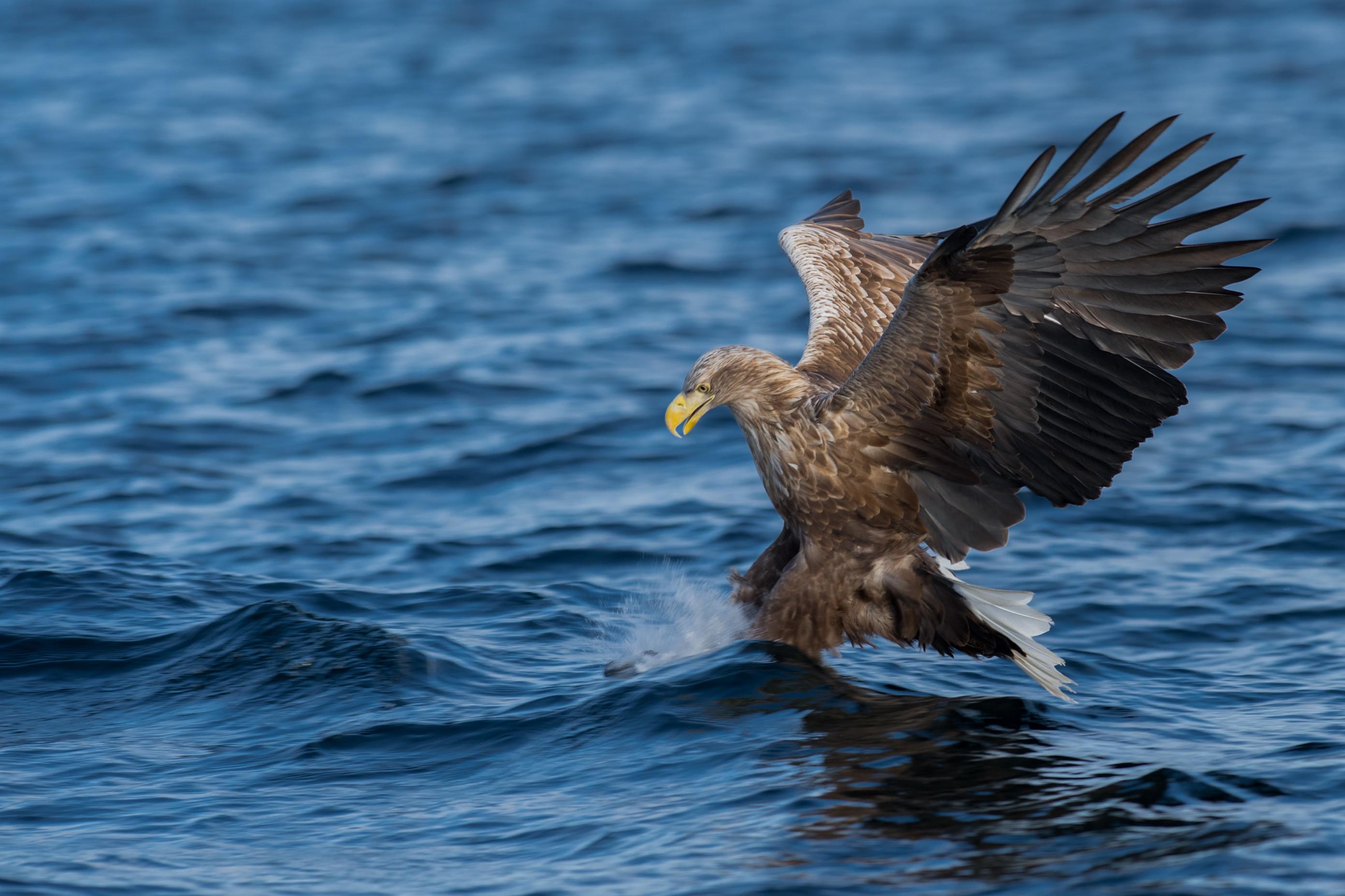 roofvogel zeearend 0684