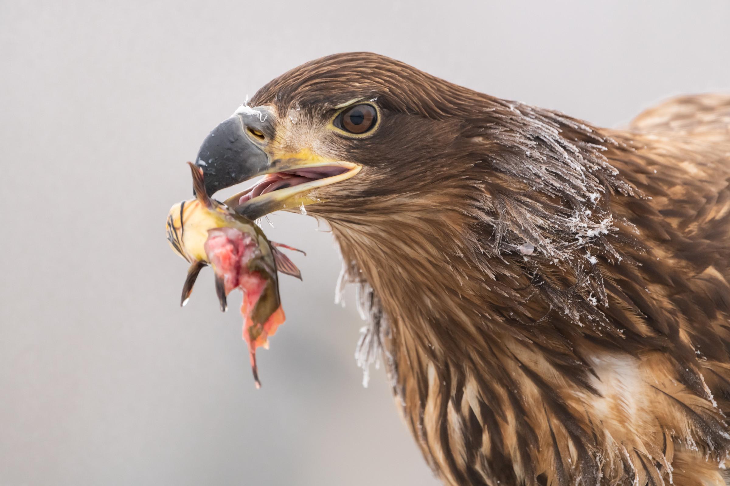 roofvogel zeearend 6296