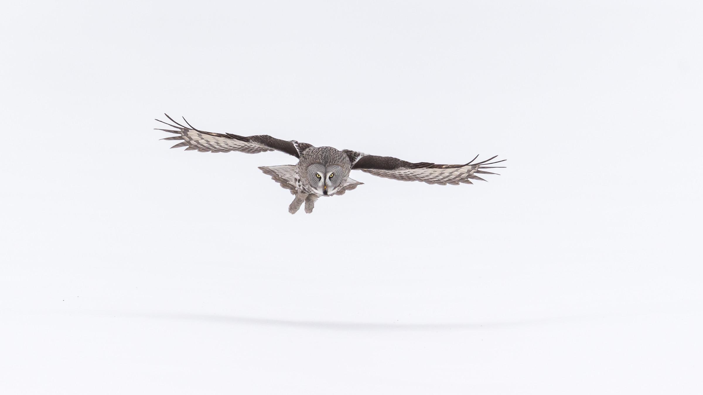 roofvogel laplanduil 5733