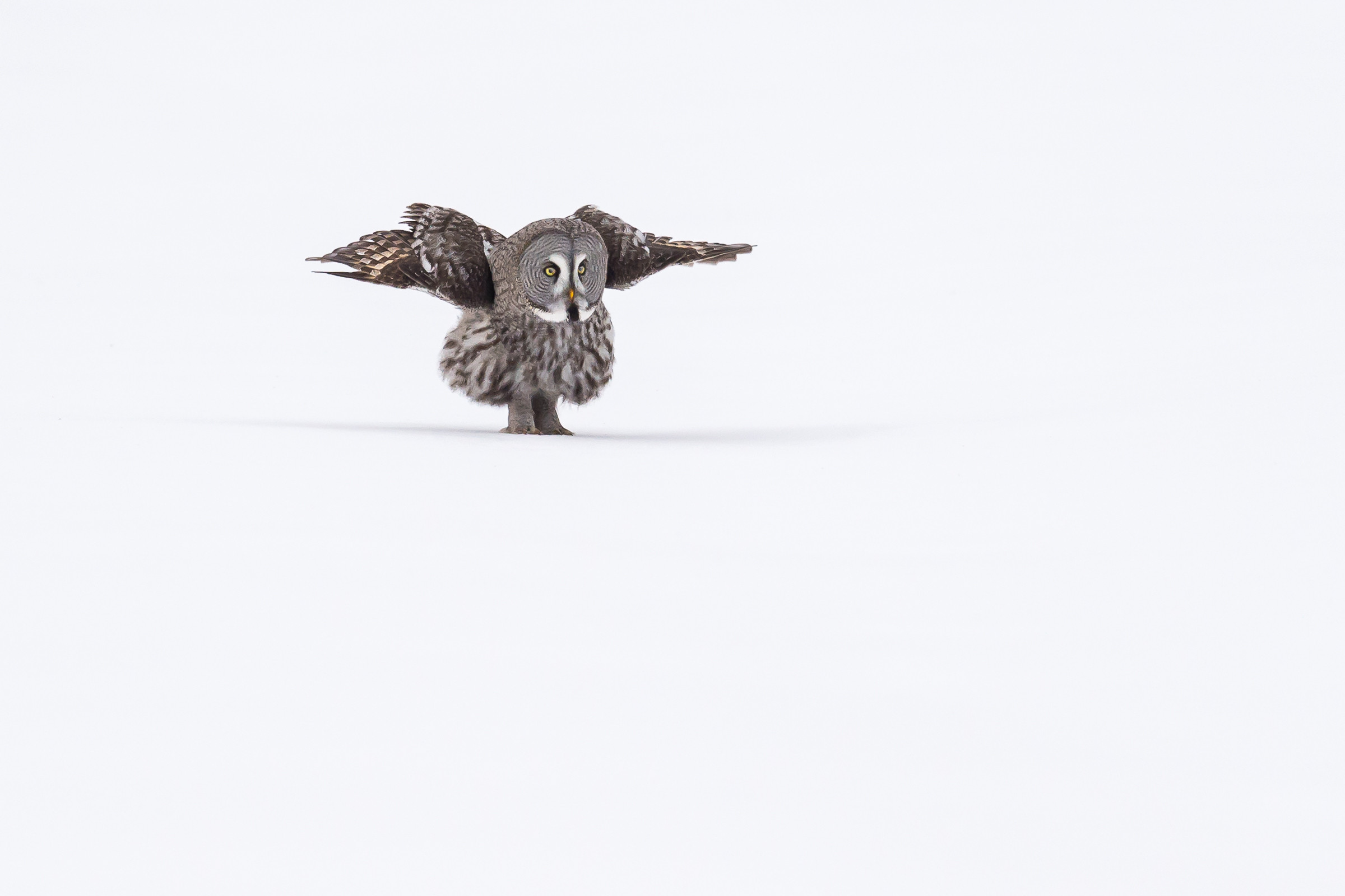 roofvogel laplanduil 5738