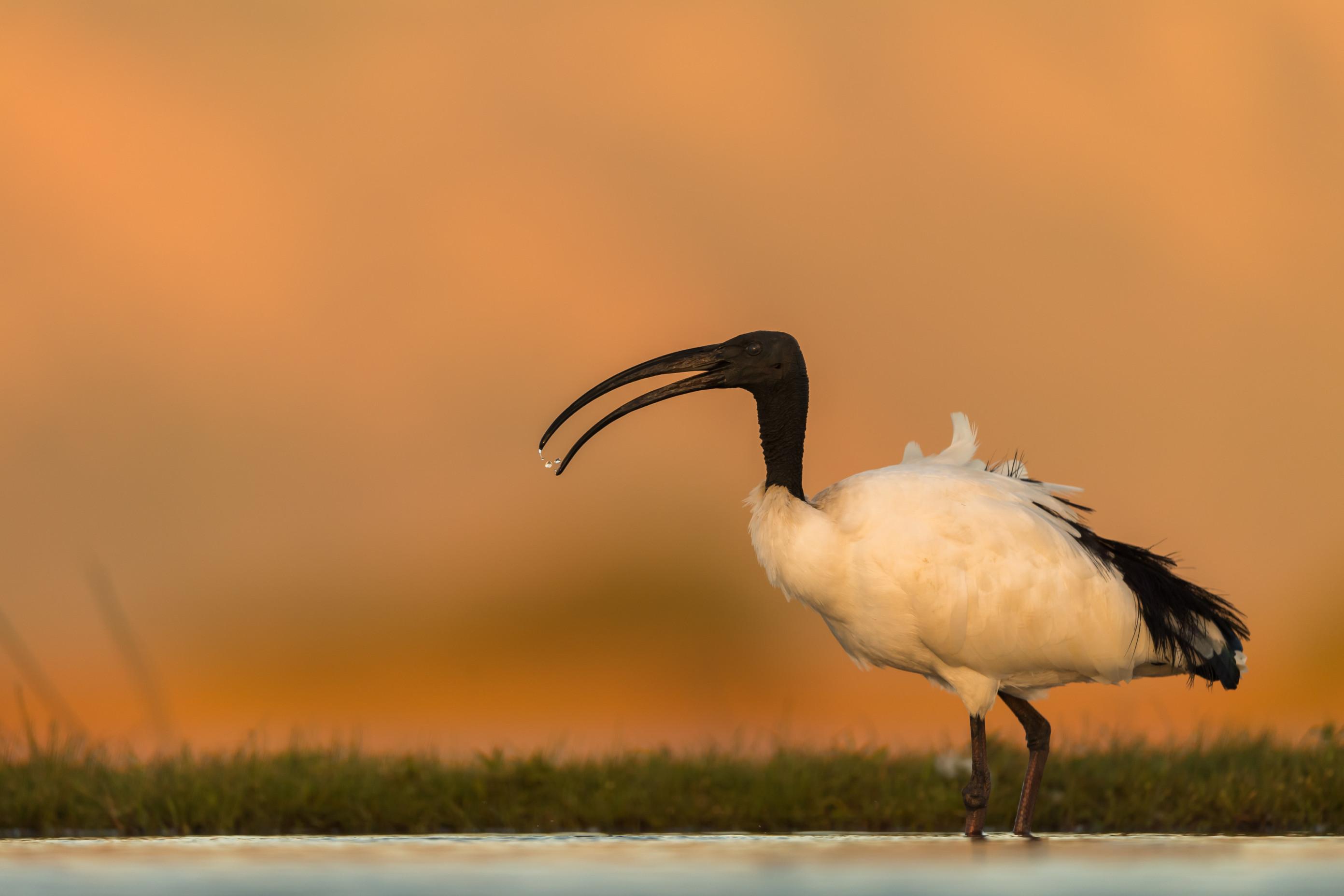 vogels afrika 4429