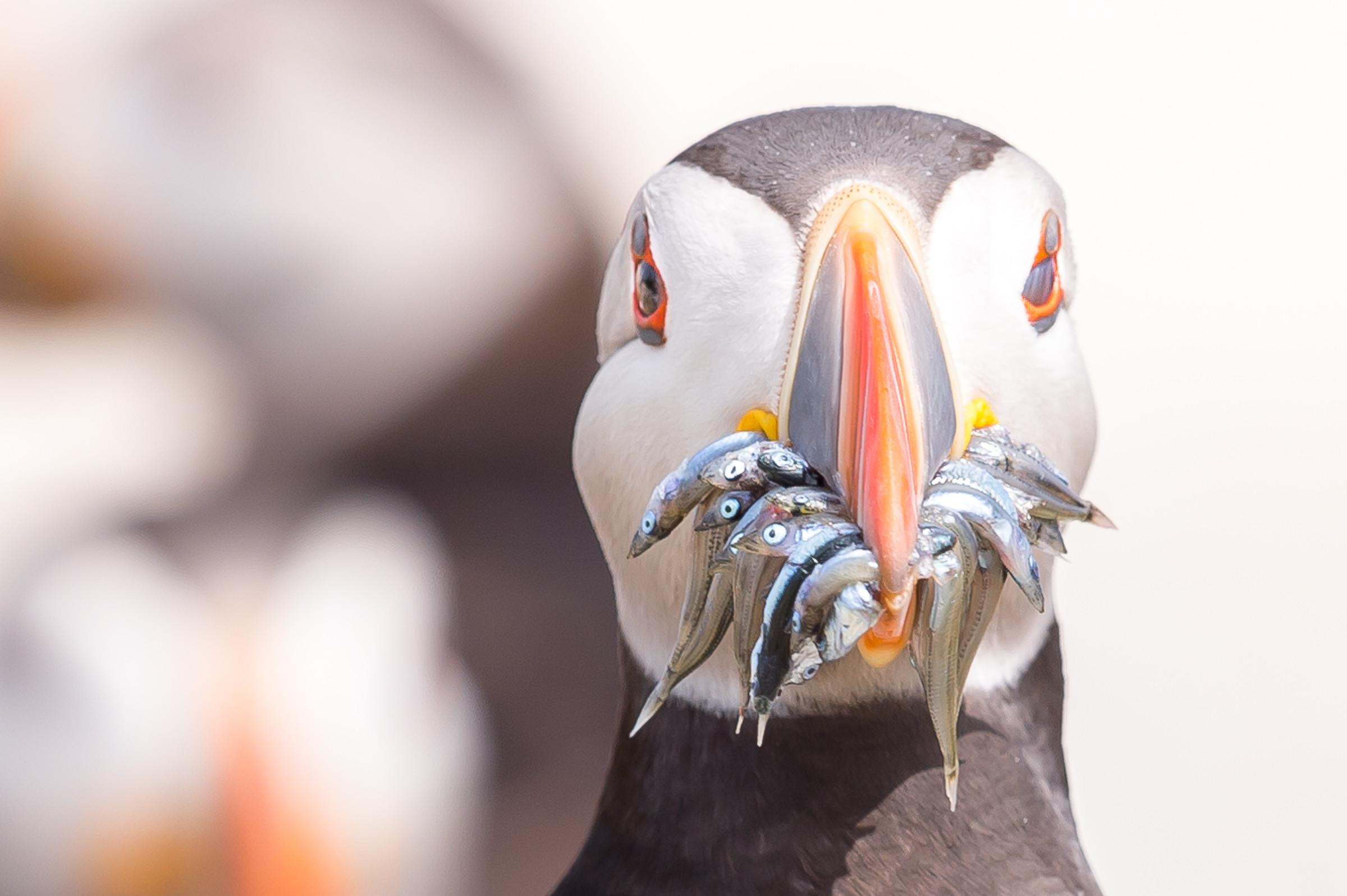 vogels BDZ papegaaiduiker 0673