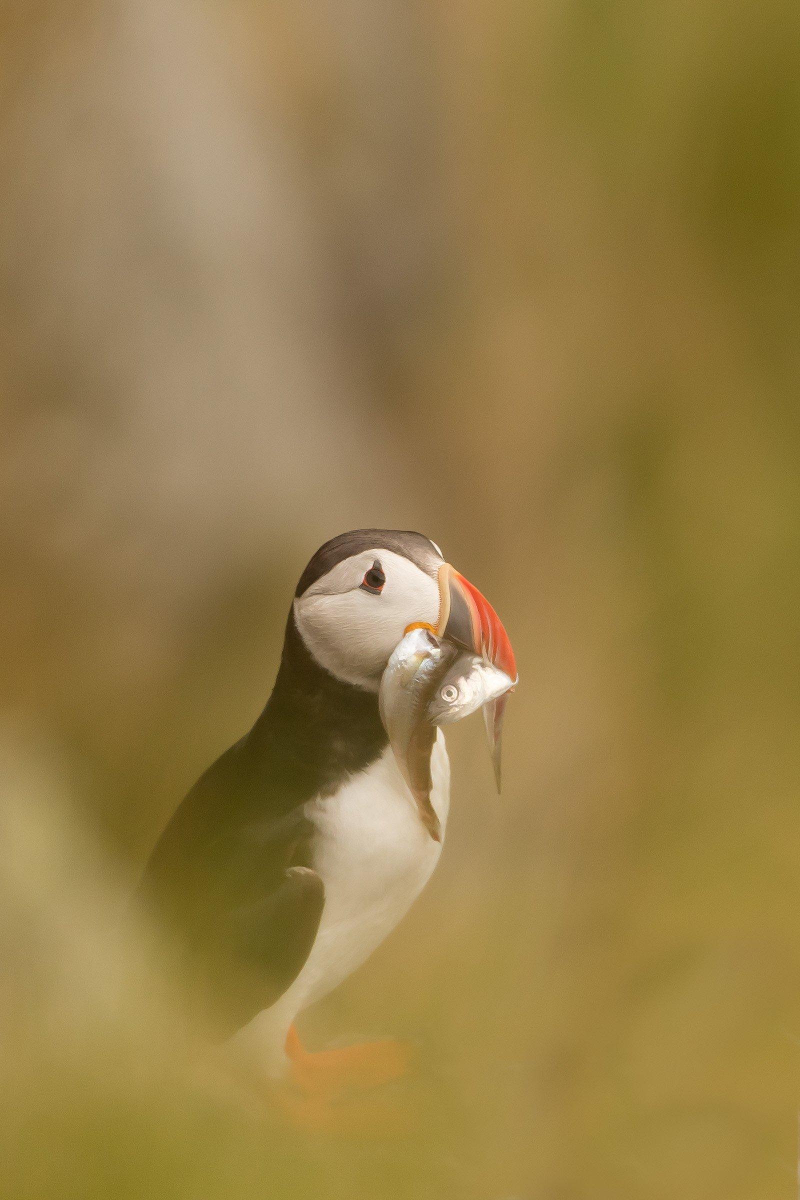 vogels BDZ papegaaiduiker 3436