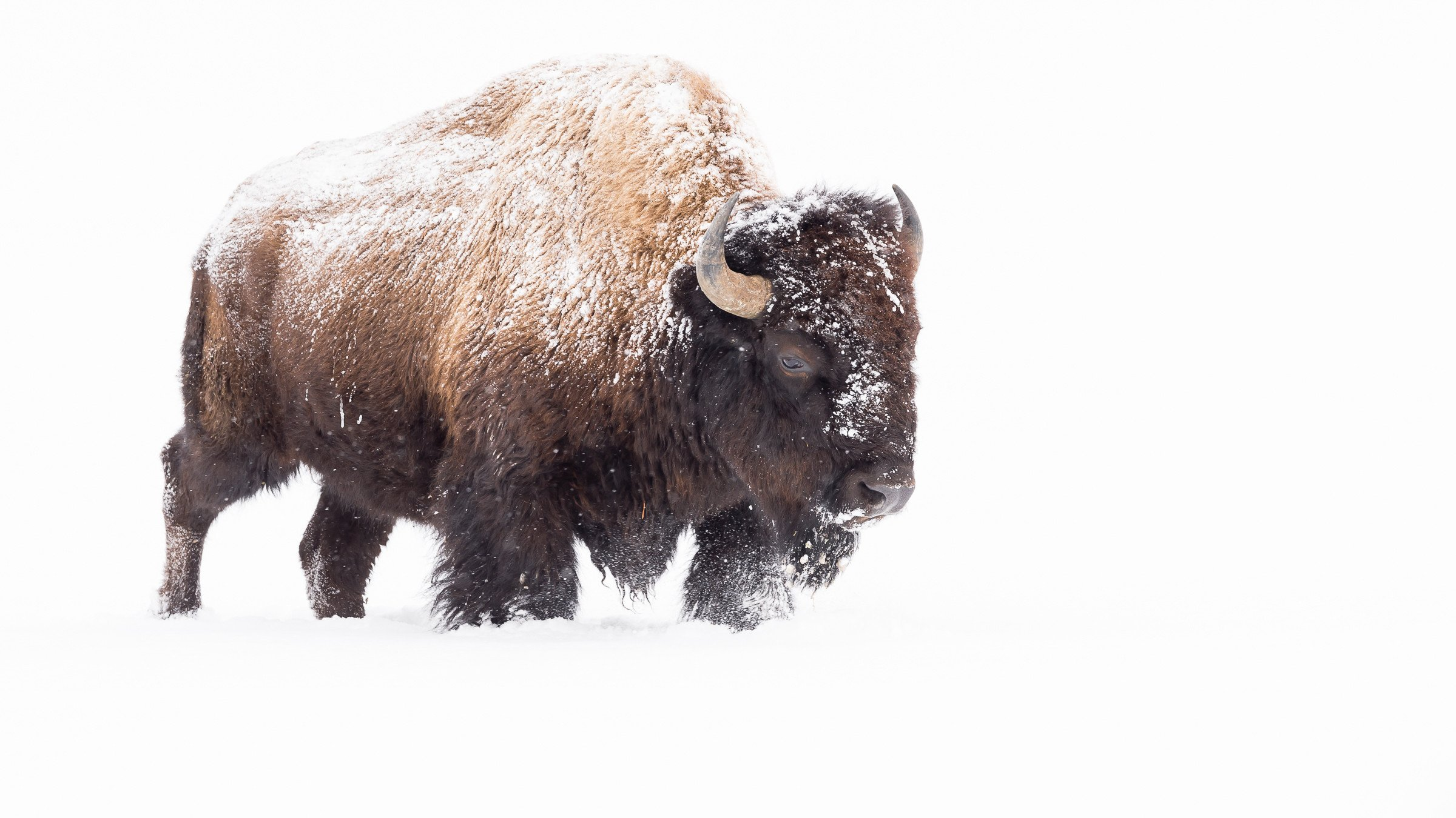 wildlife Yellowstone 5524