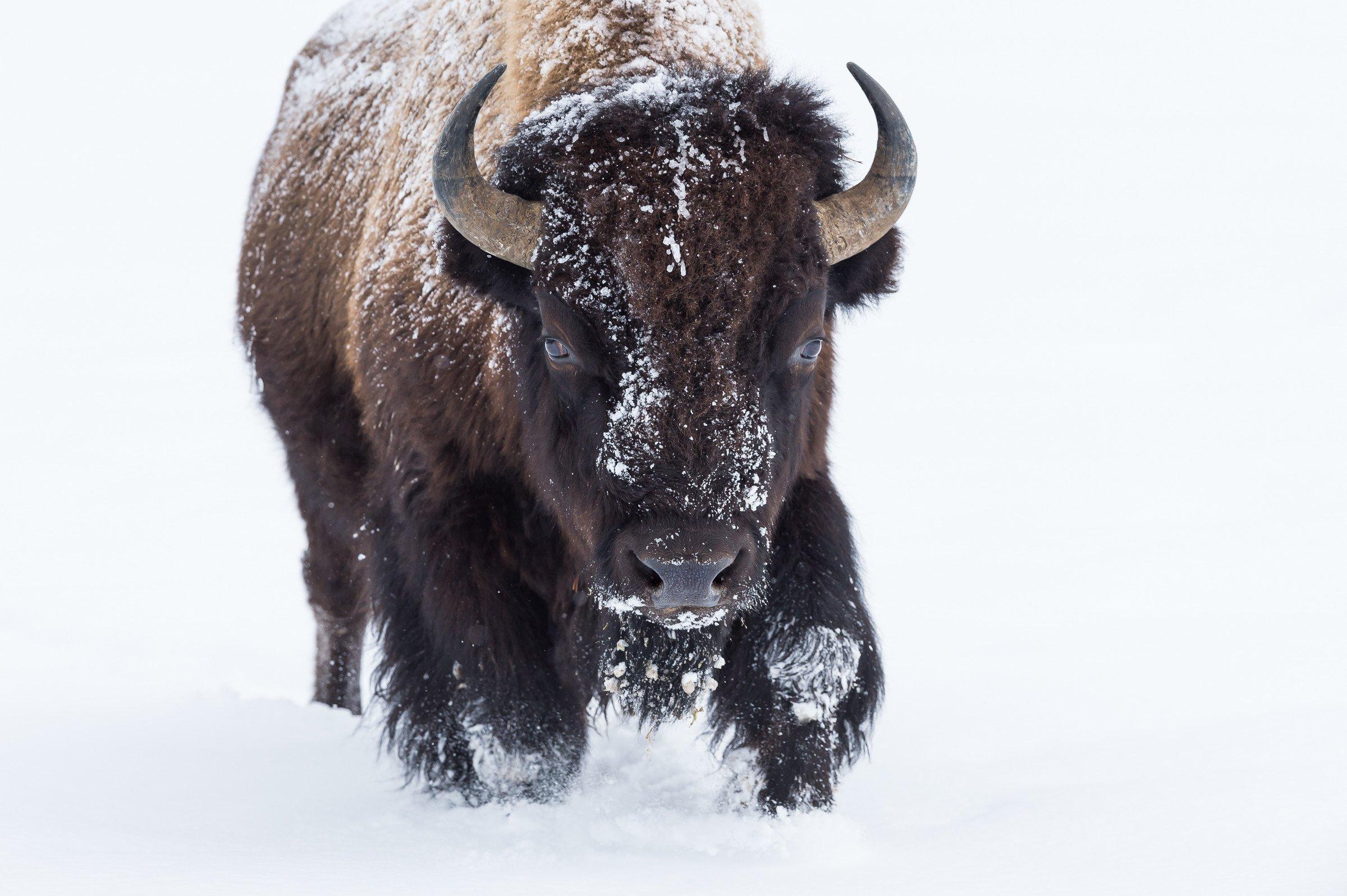 wildlife Yellowstone 5602