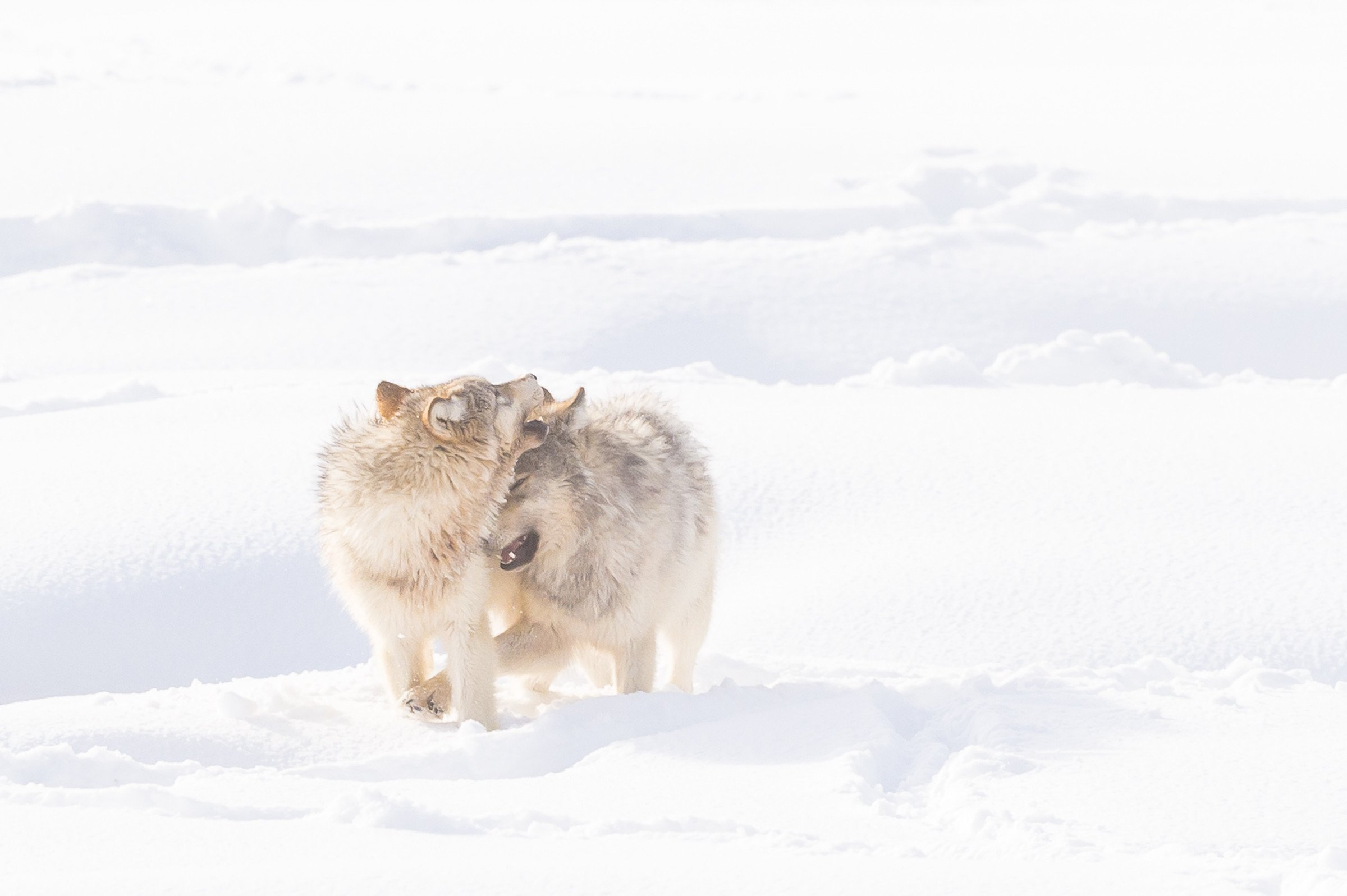 wildlife Yellowstone 7173