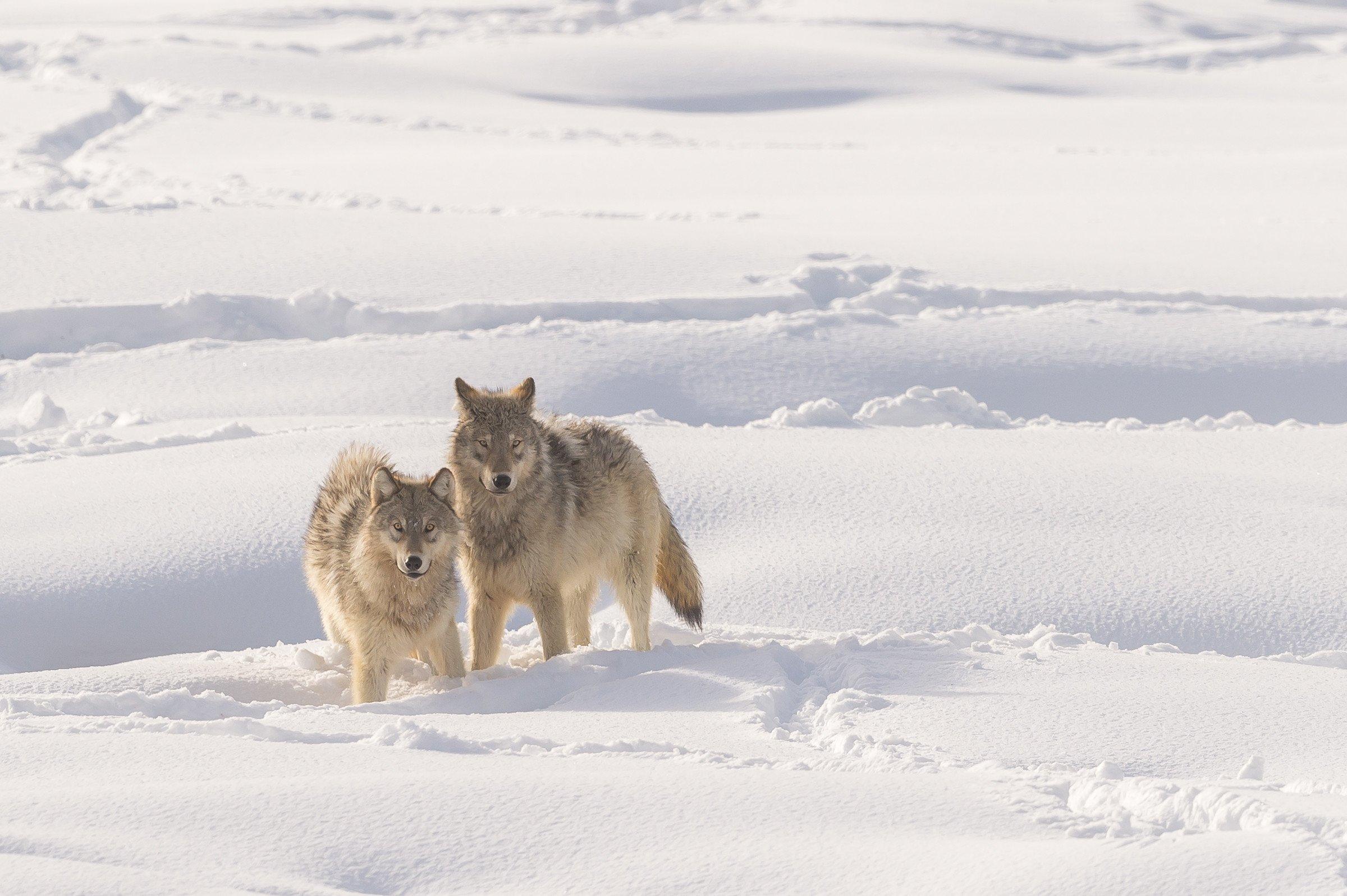 wildlife Yellowstone 7182