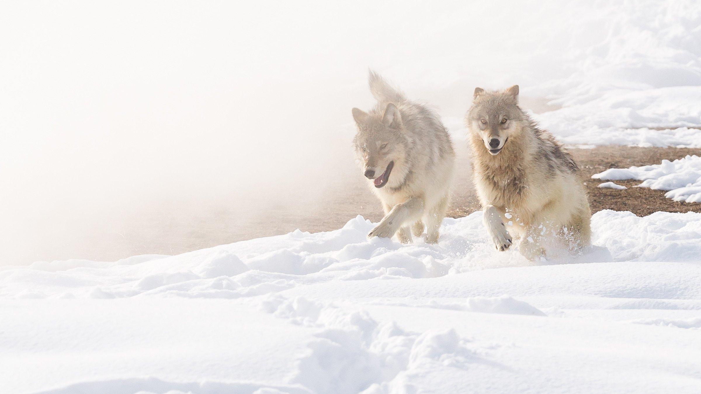 wildlife Yellowstone 7213