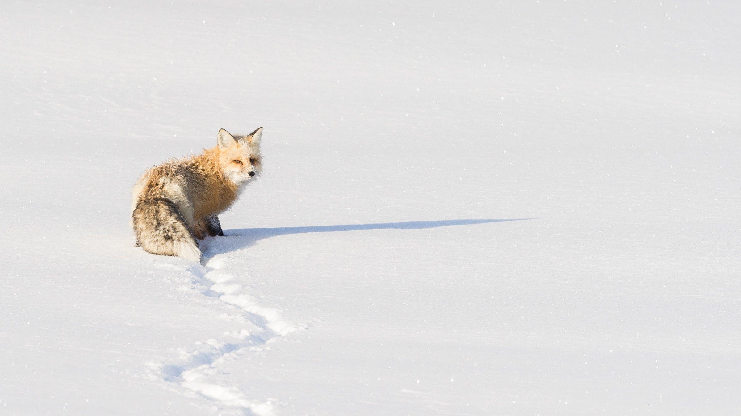 wildlife Yellowstone 8113