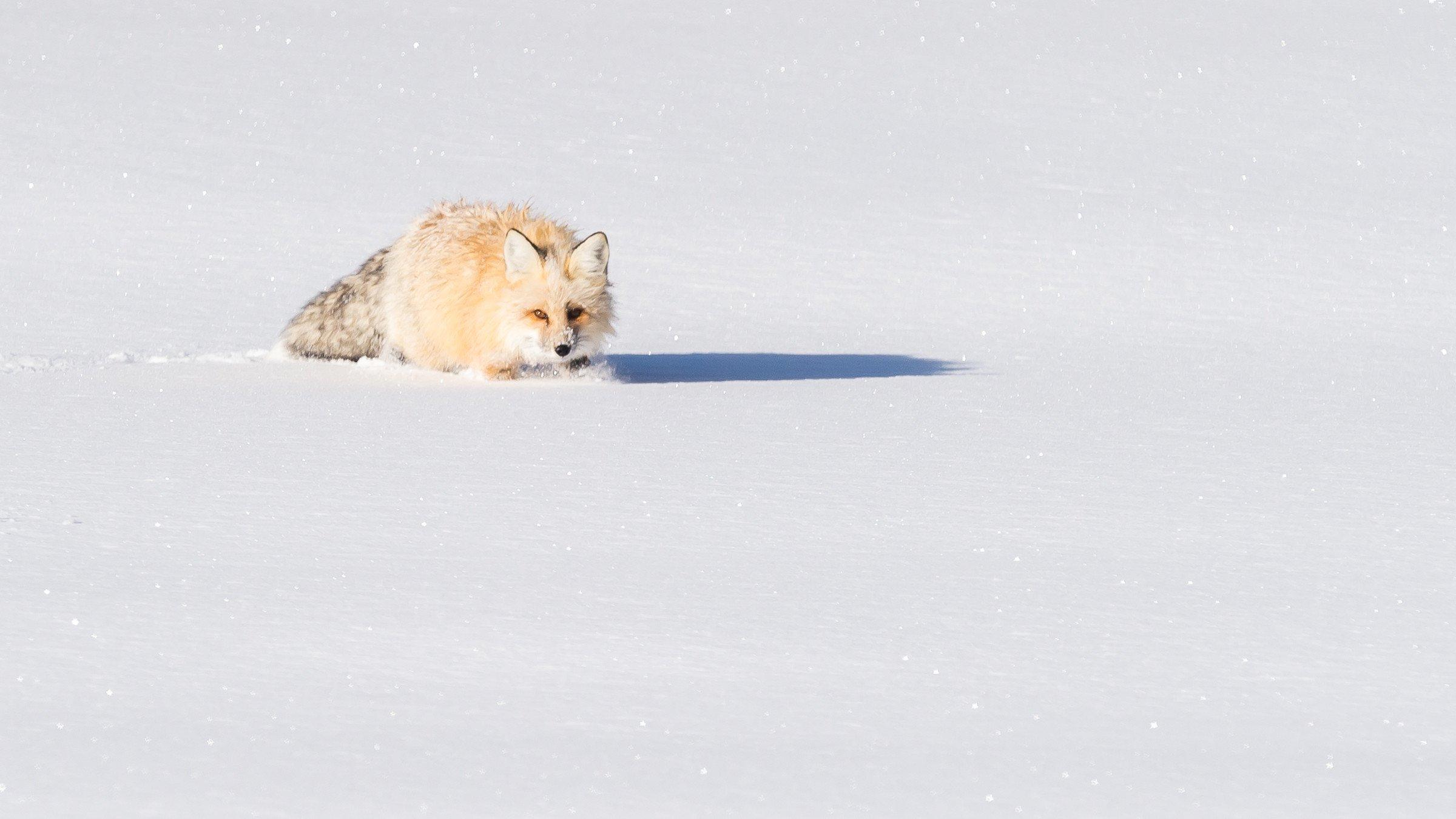 wildlife Yellowstone 8148