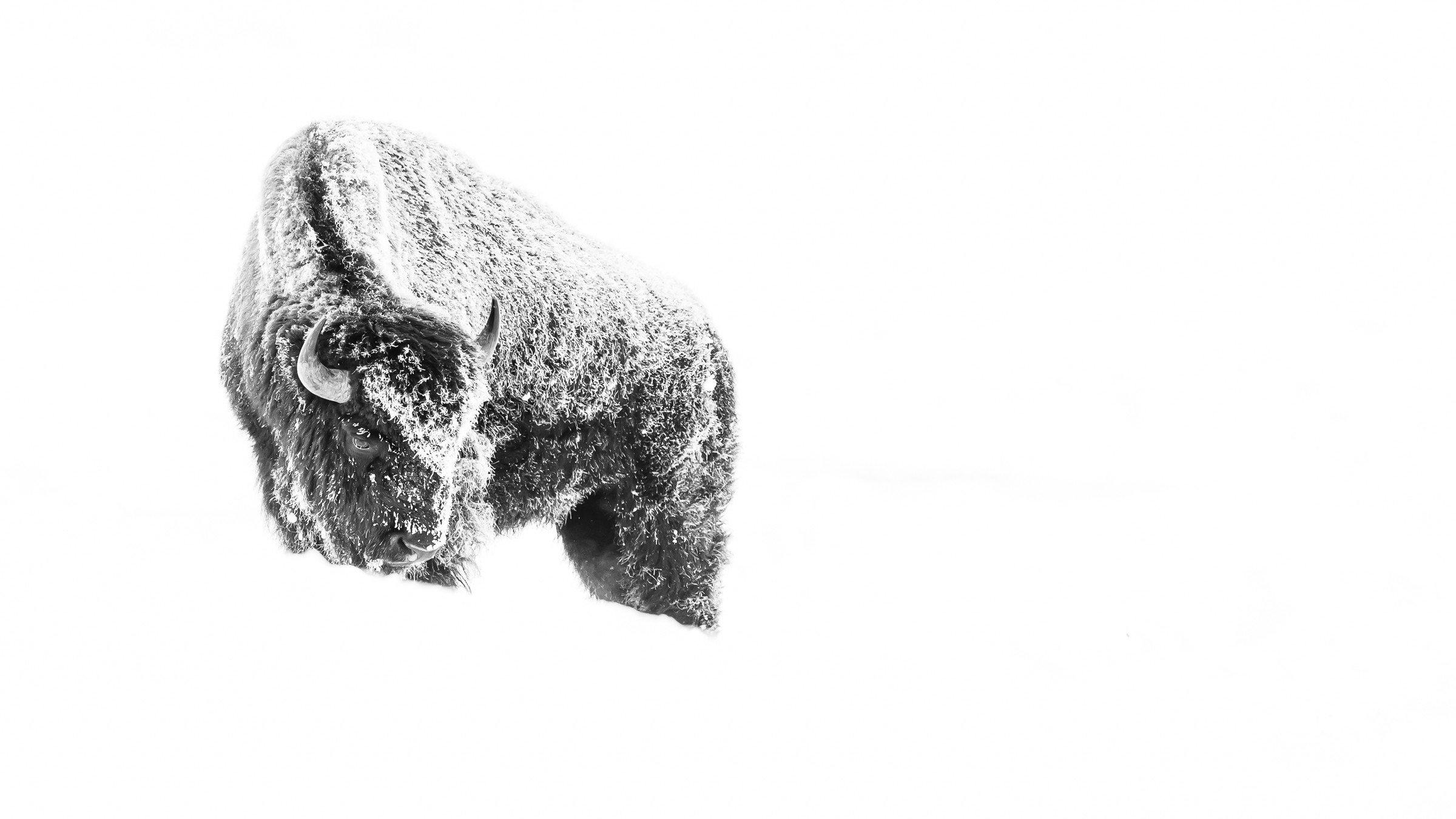 wildlife Yellowstone 8251