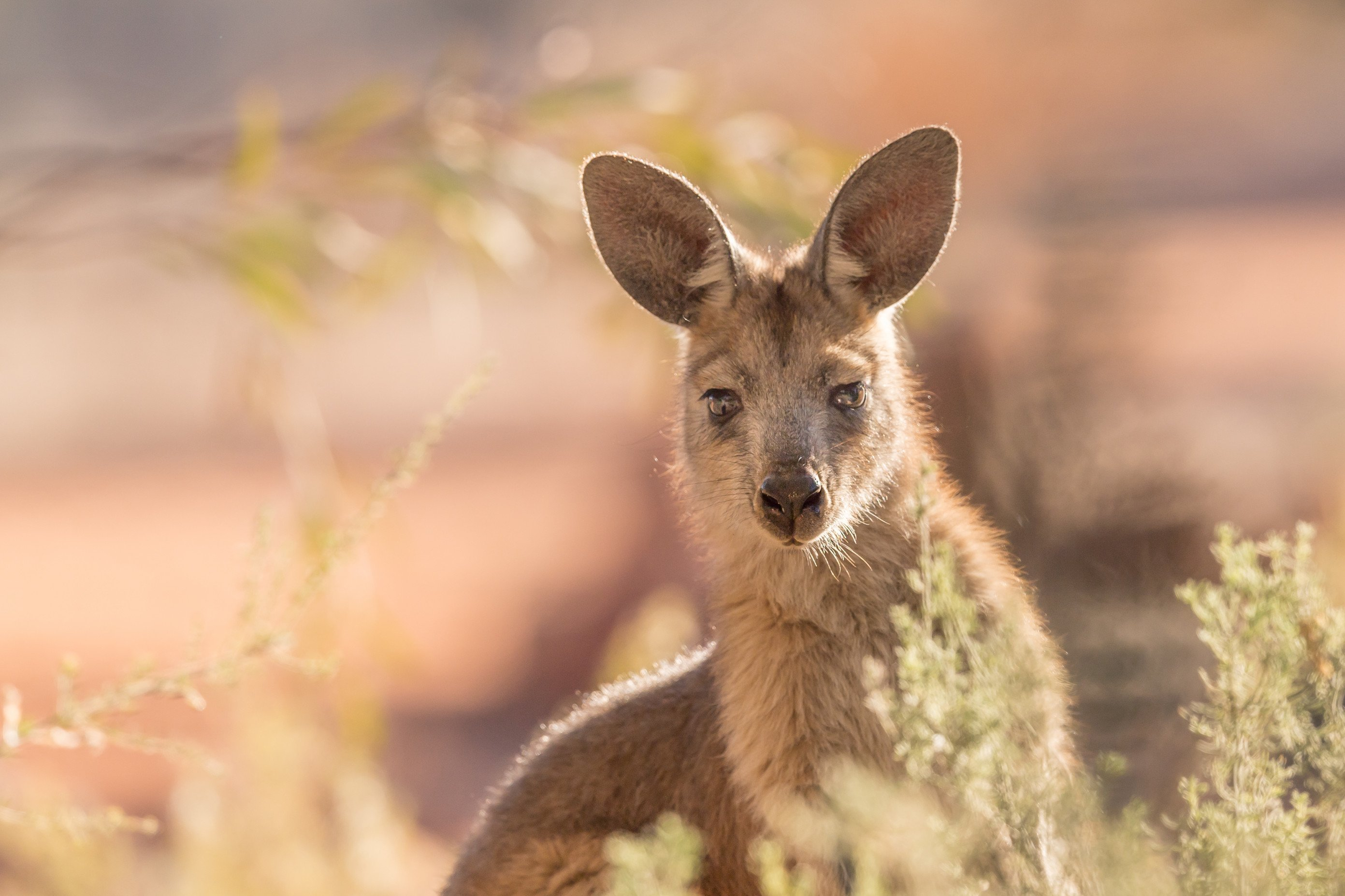 wildlife Australie 8448