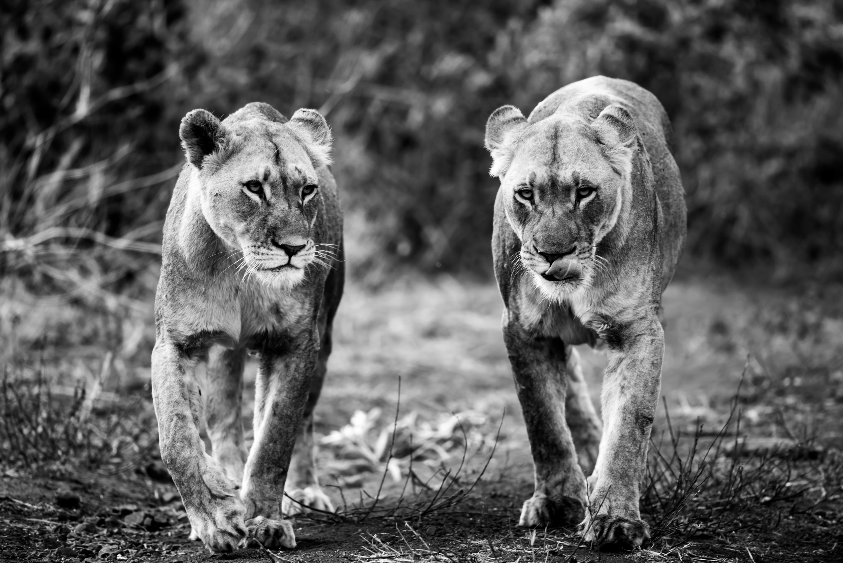 wildlife zimanga 5136