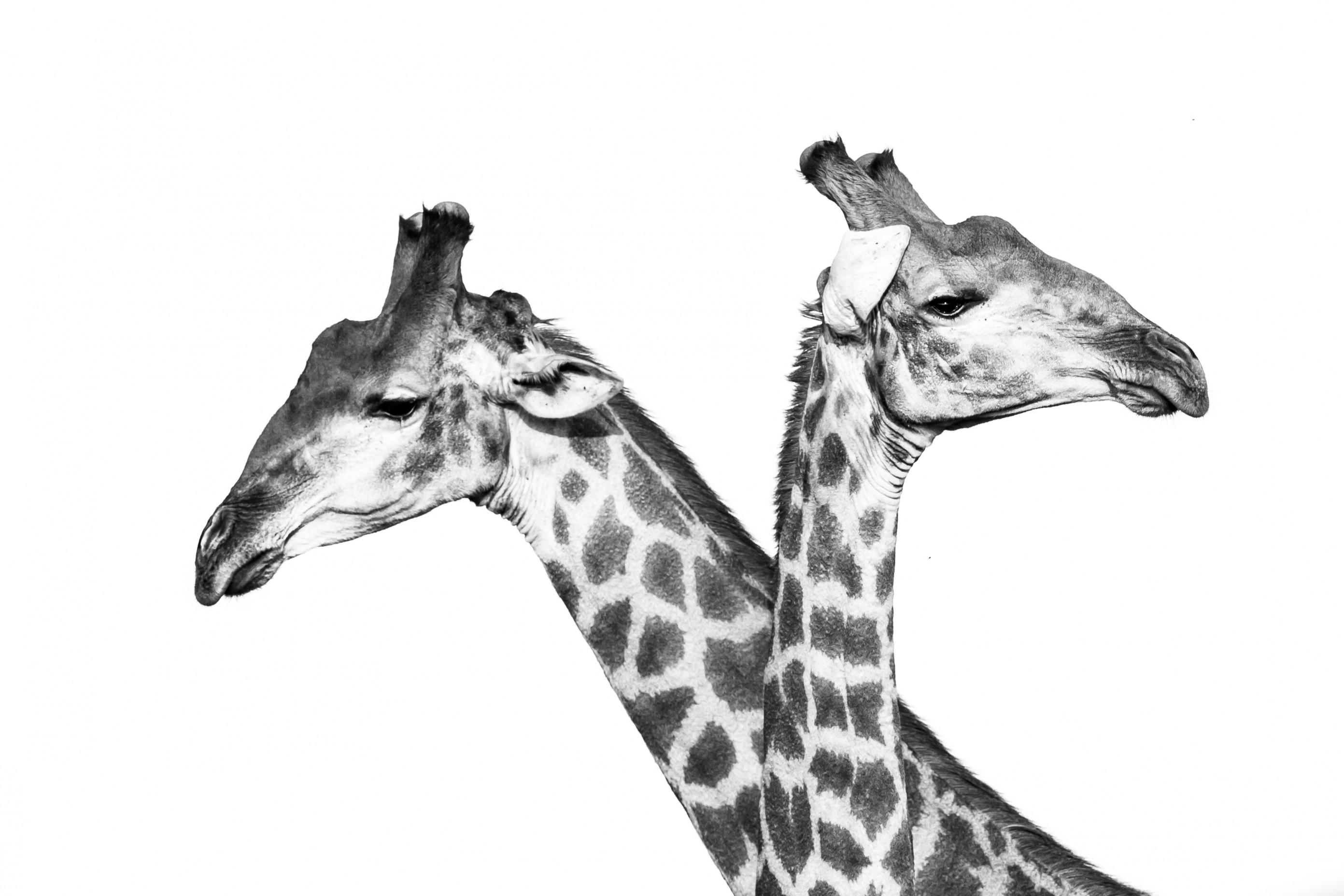 wildlife zimanga 5336