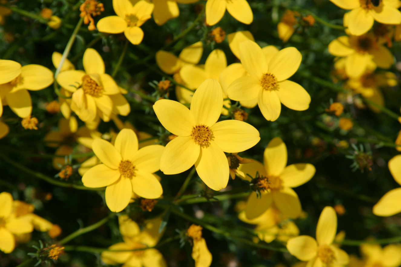 Bidens ferulifolia Golden Star ®.jpg