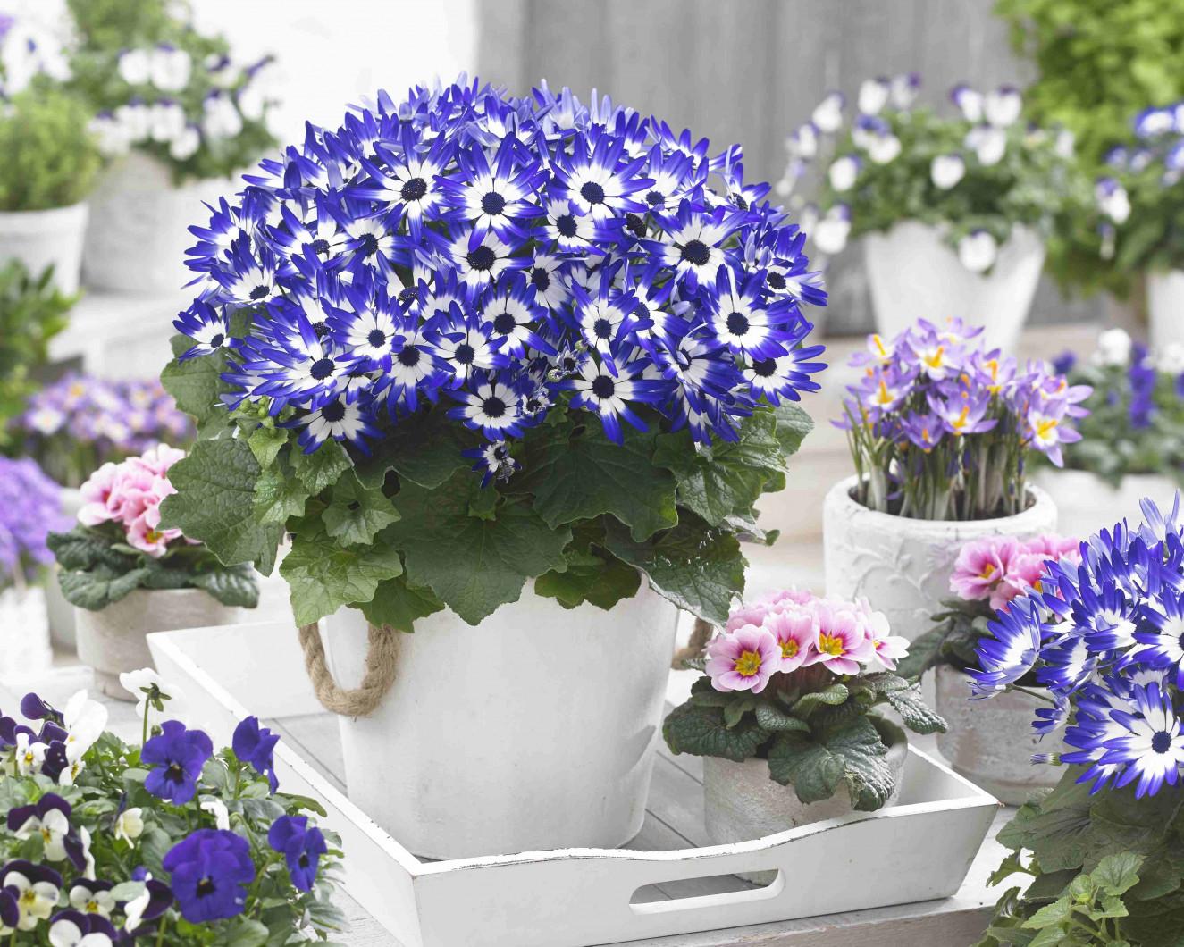 01 Senetti Blue bicolor 3076.jpg