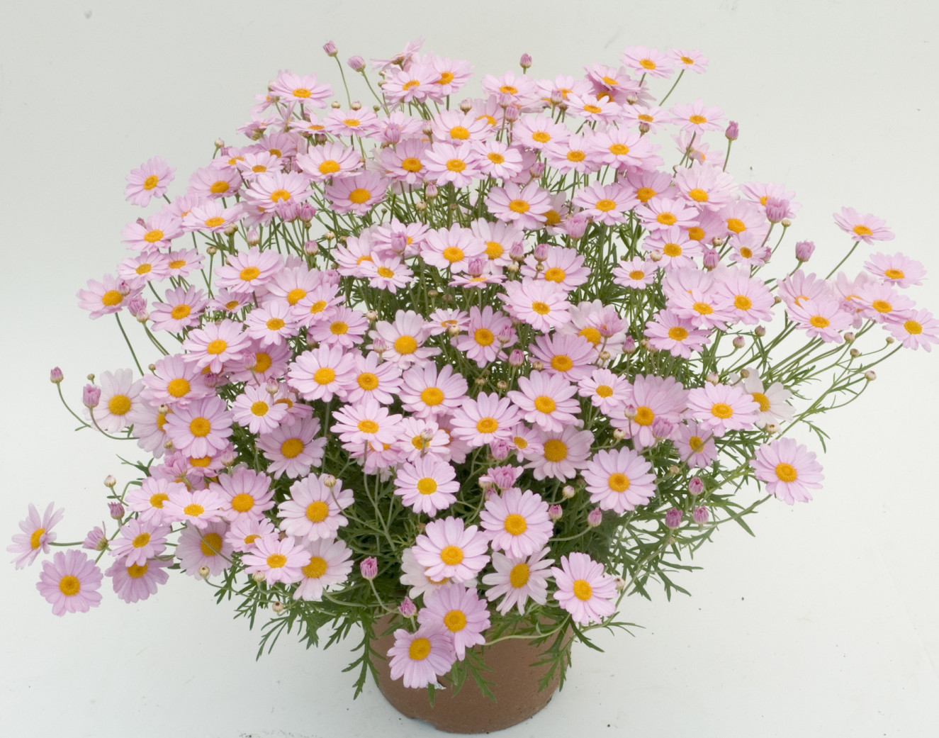 1. argyranthemum daisy crazy ® summit pink -.jpg