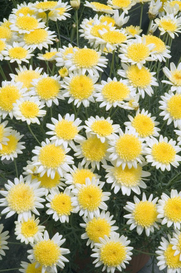 Argyranthemum Daisy Crazy Sole Mio Improved flower.jpg