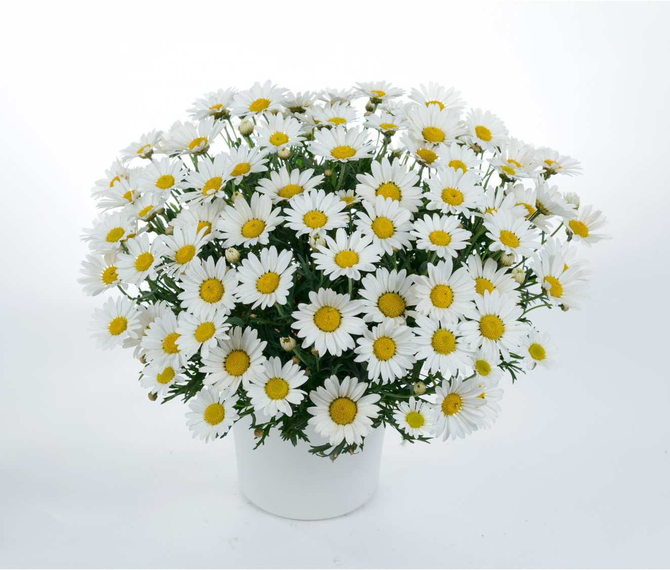 Argyranthemum frutescens Everest (goed).jpg.jpg