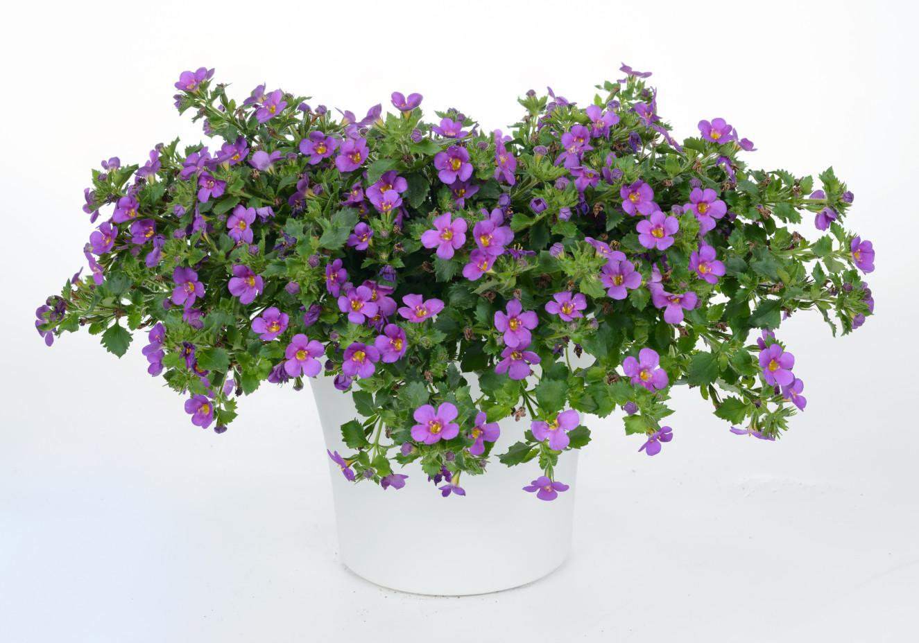 Bacopa Scopia Great Violet Glow-BA-14-2983-693-Edit.jpg