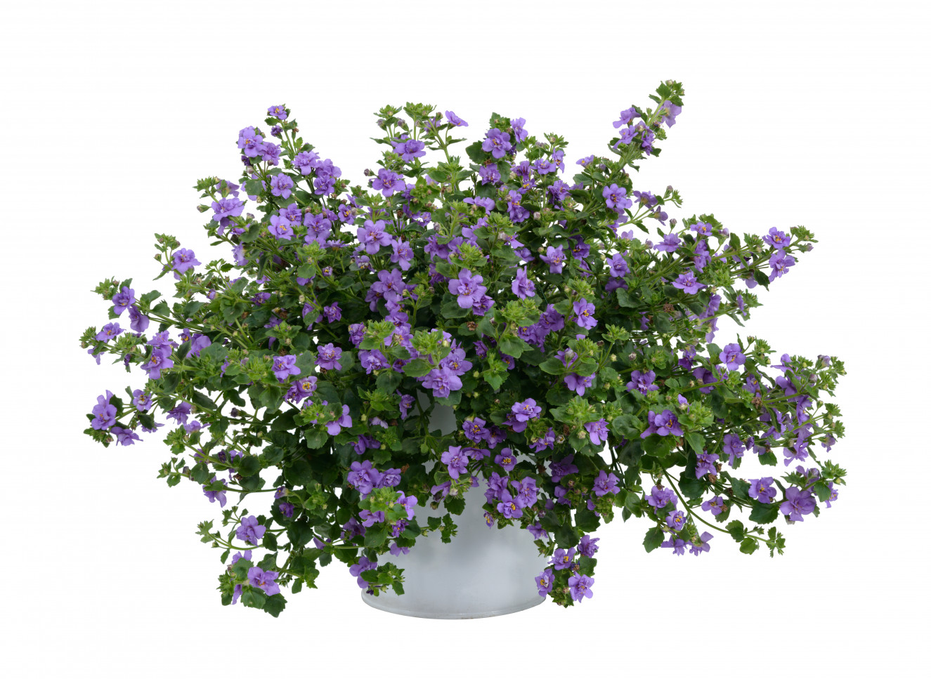 Bacopa- Scopia Double Indigo-catalog ba-11-2031-336-Edit.jpg