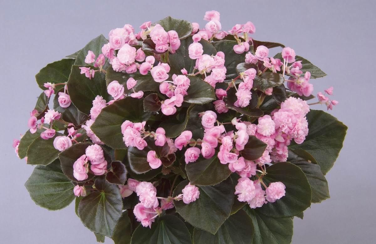 Begonia semperflorens Doublet Pink.jpg