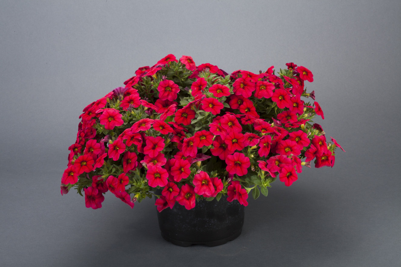 Calibrachoa -Noa Dark Red holt_1073_255.jpg.jpg
